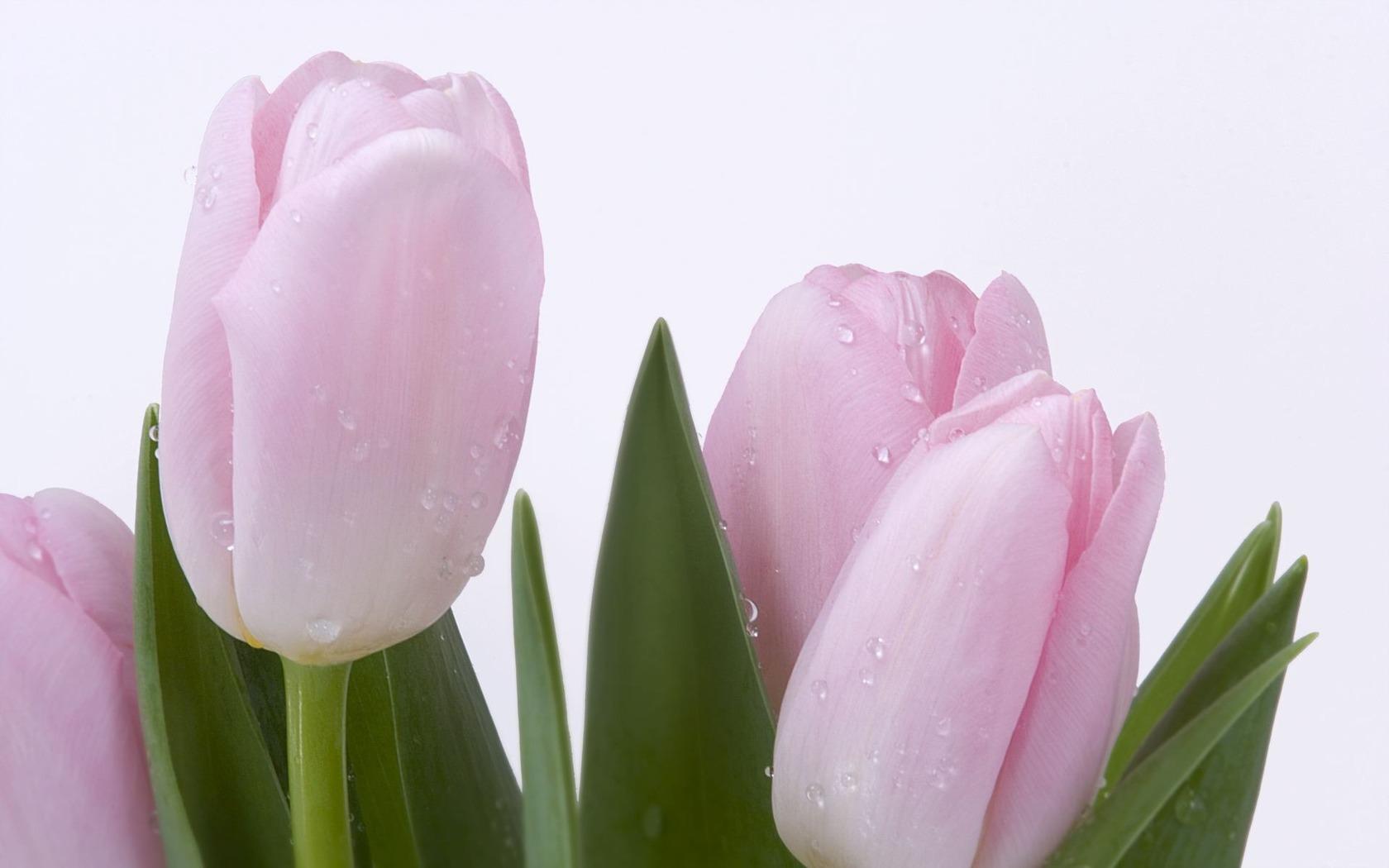 Pink Tulips Wallpaper