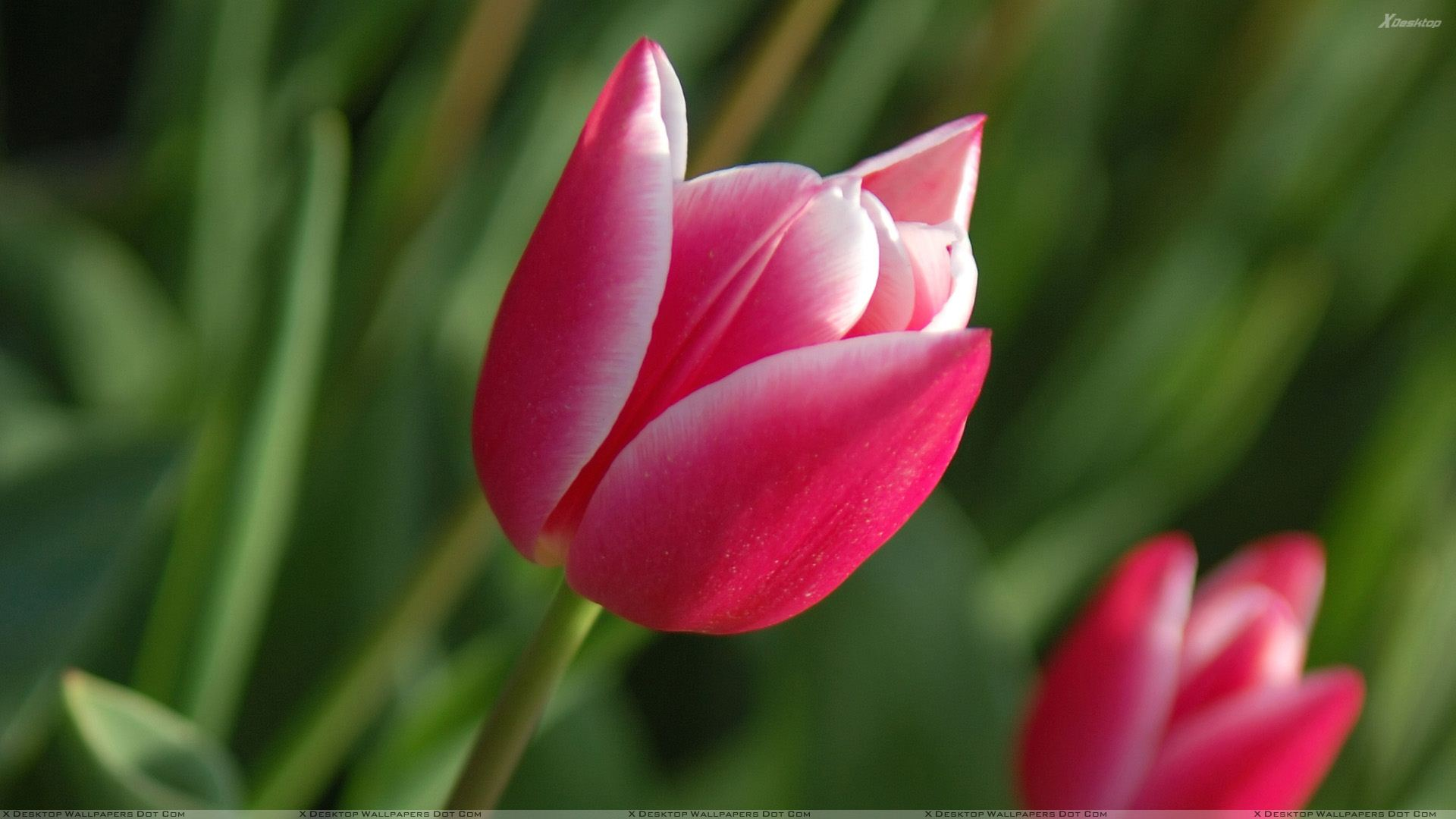 Pink Tulips - Download Wallpaper