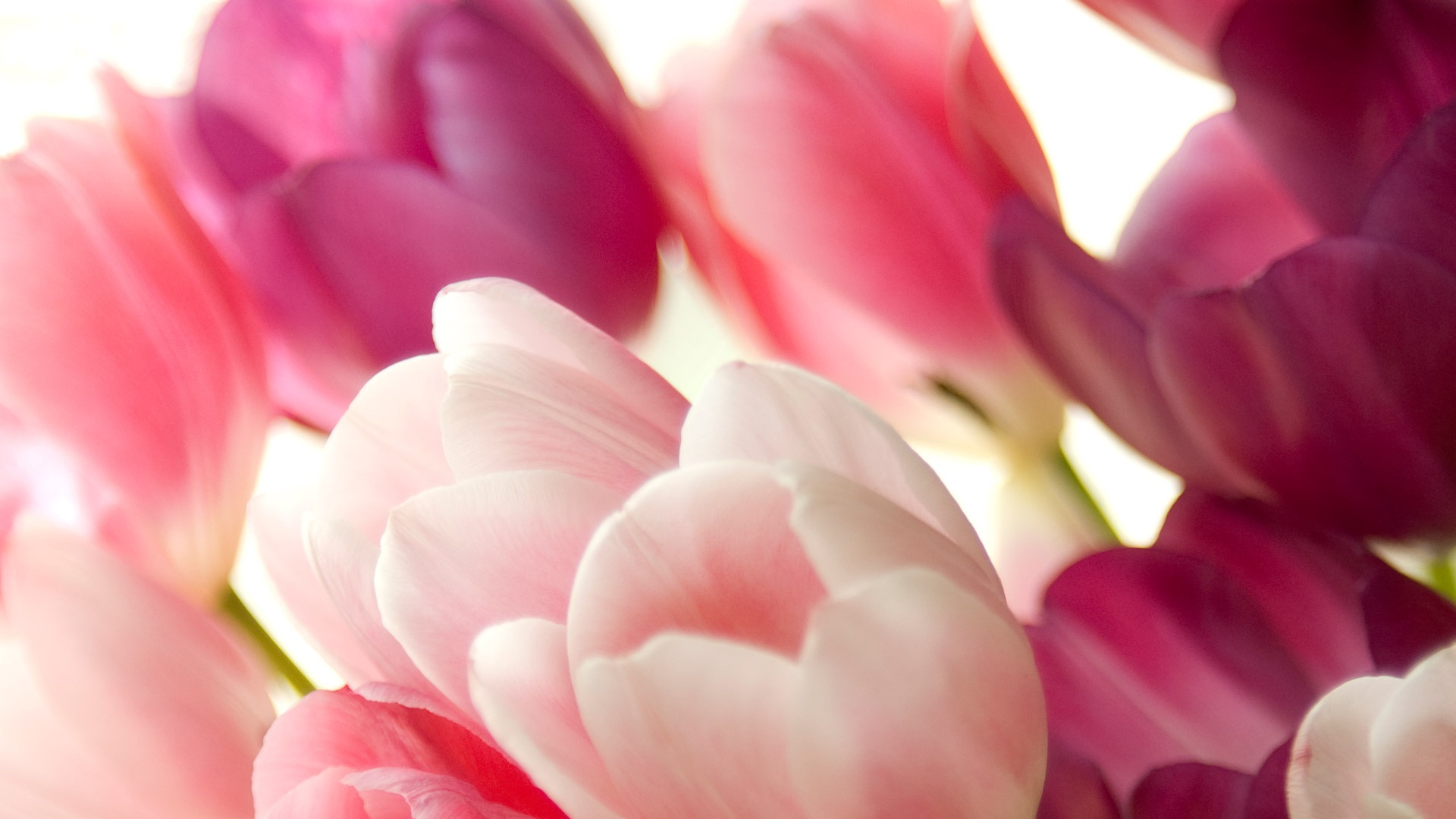 ... Pink Tulips; Pink Tulips