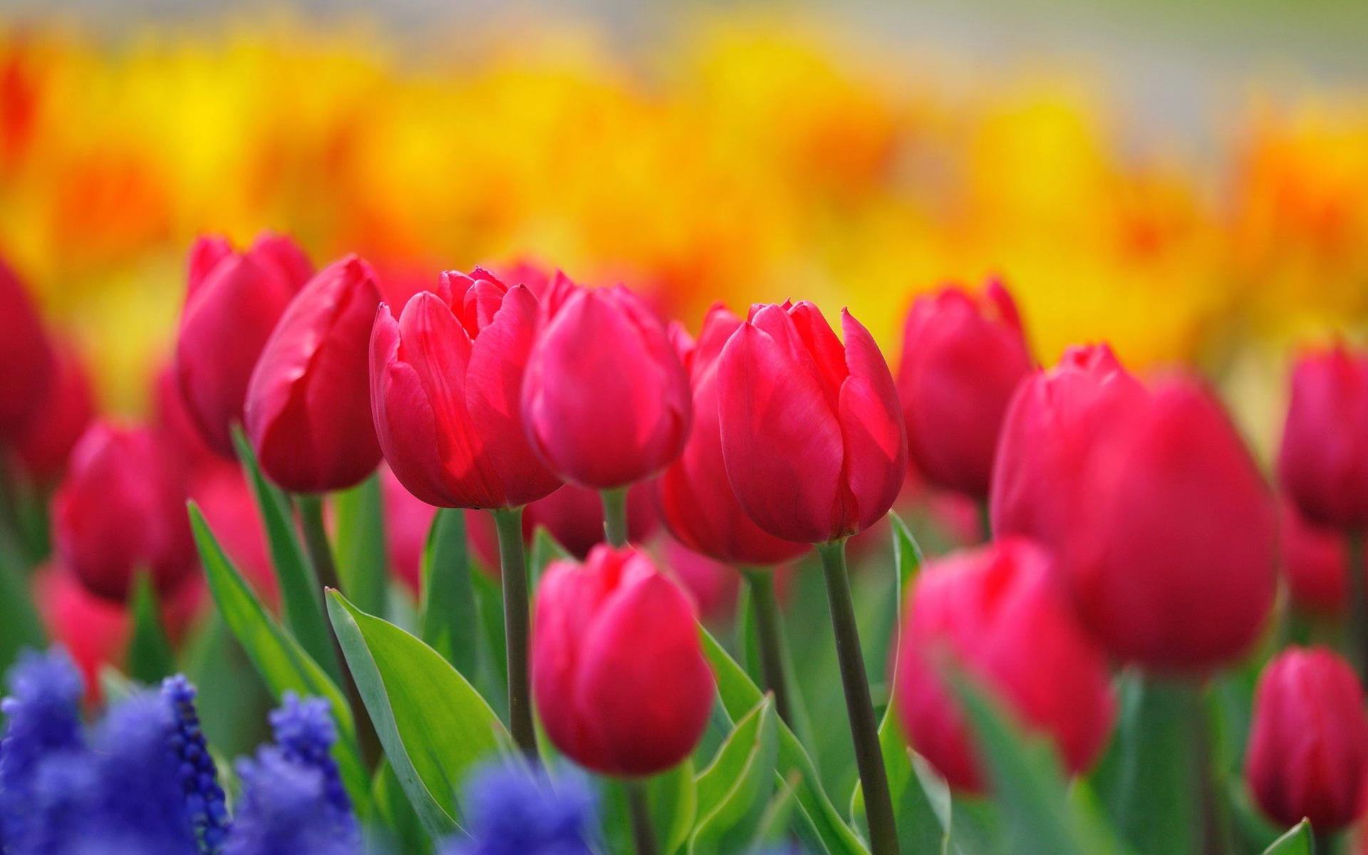 Pink Tulips Hd Widescreen Wallpaper