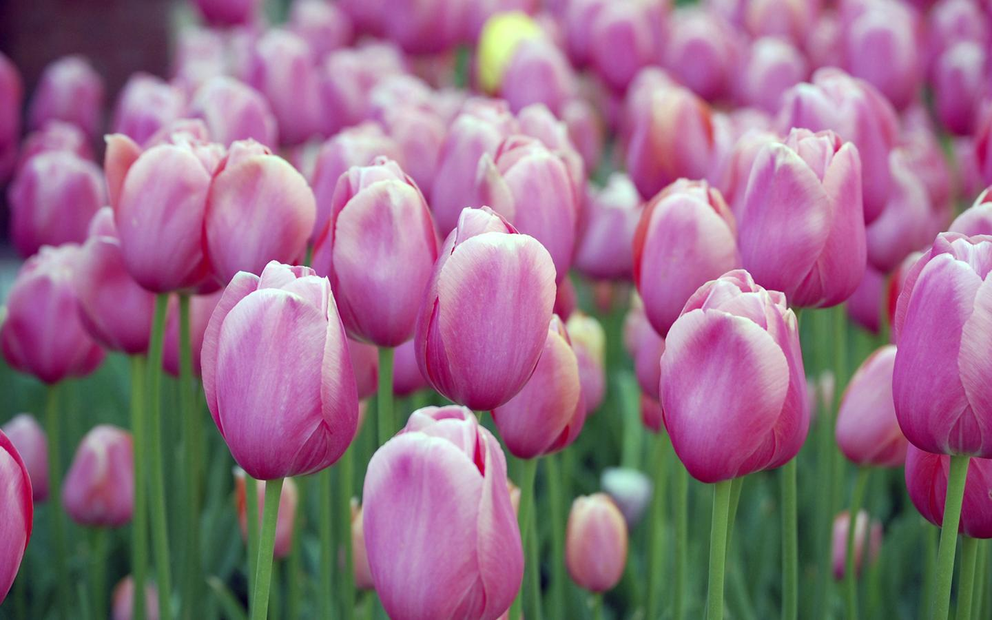 Pink Tulips ...