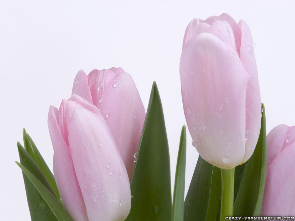Pink tulips flower