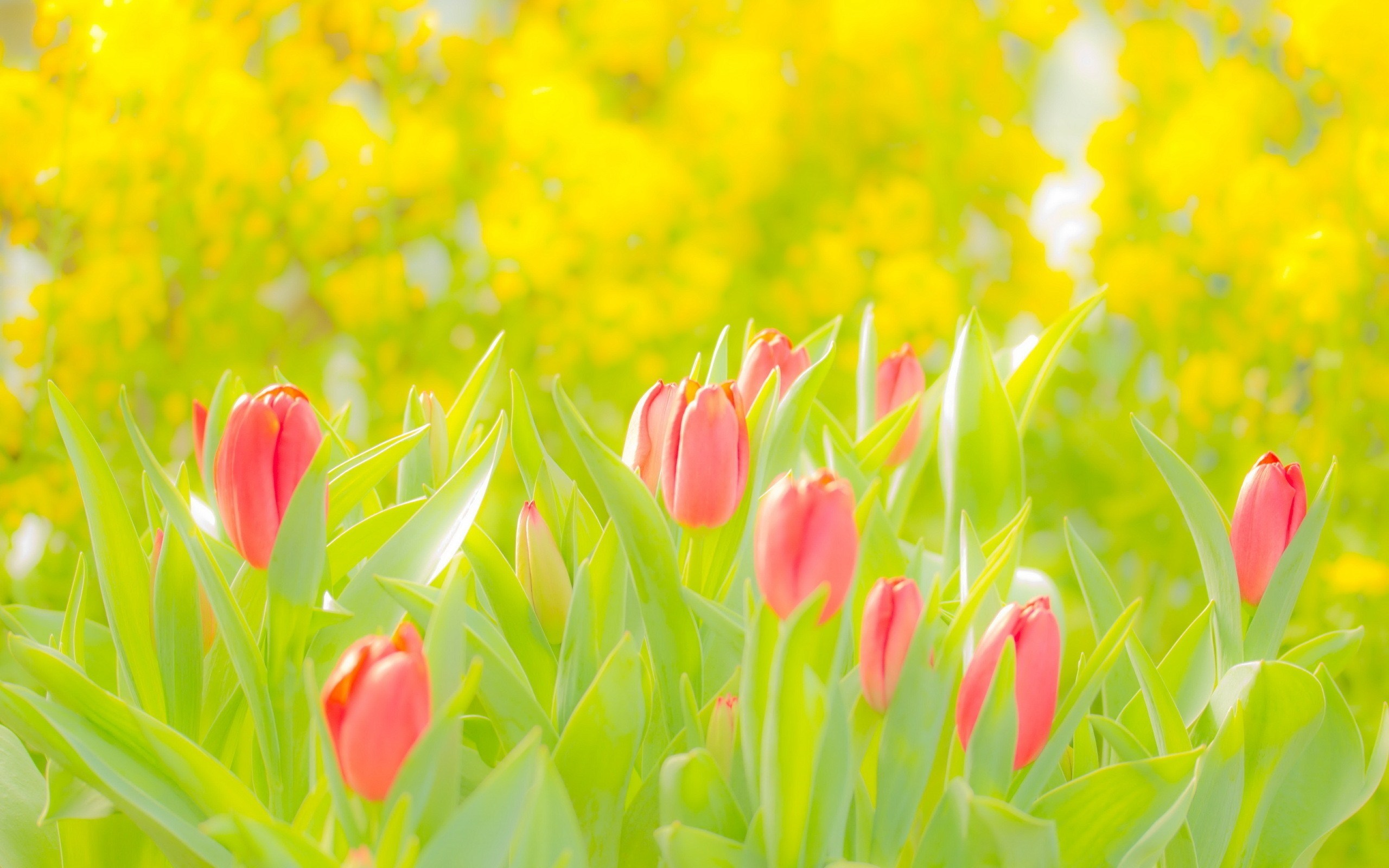 Pink tulips nature