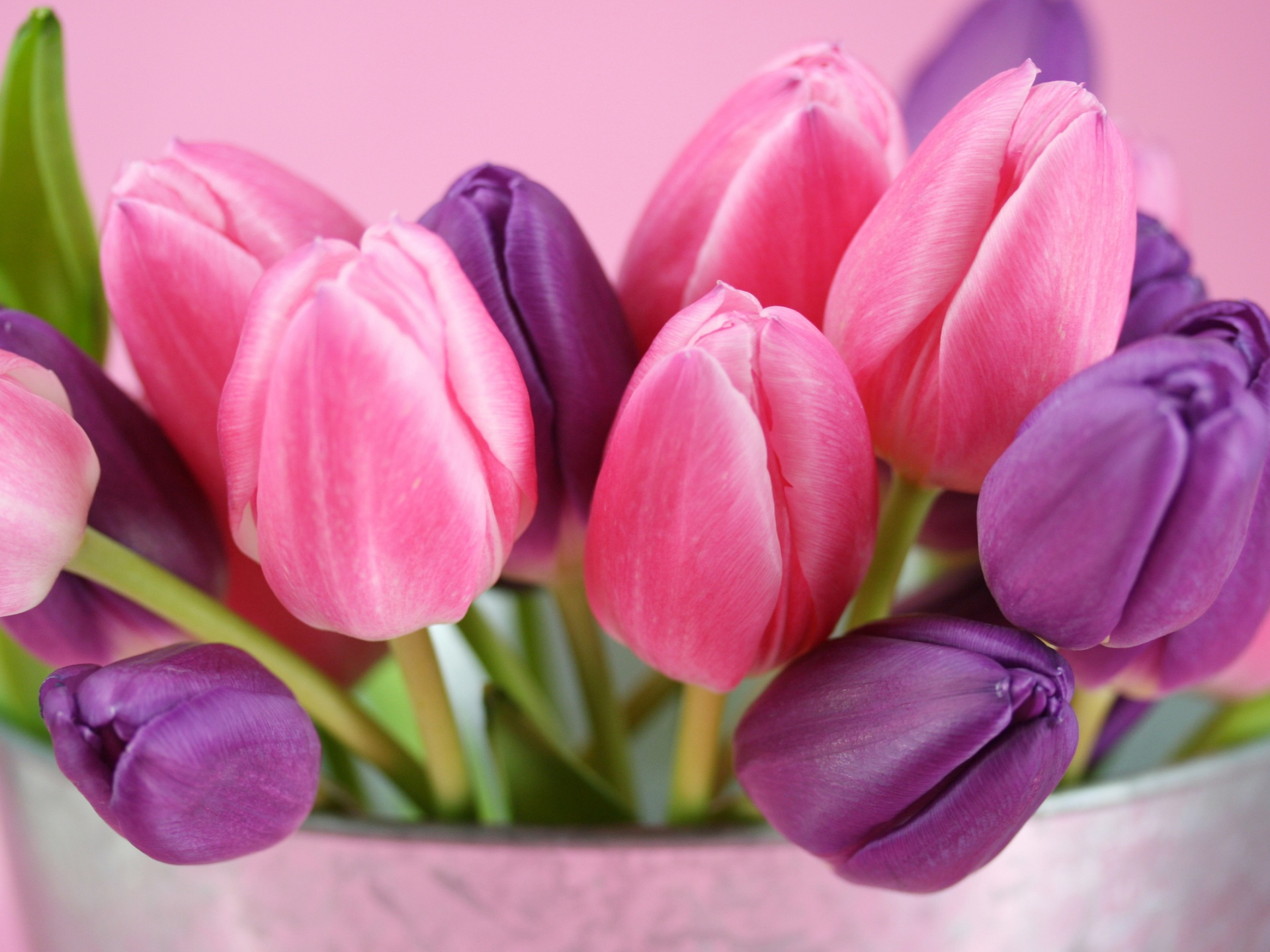 Pink Tulips HD Wallpaper2