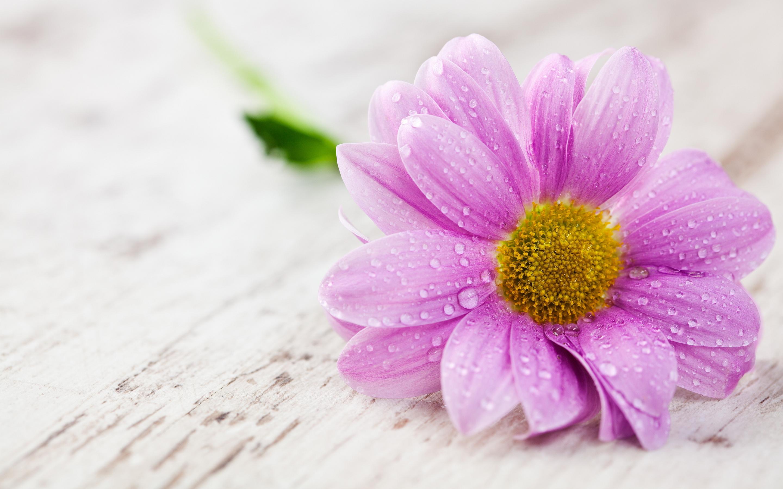 Pink wet flower hd