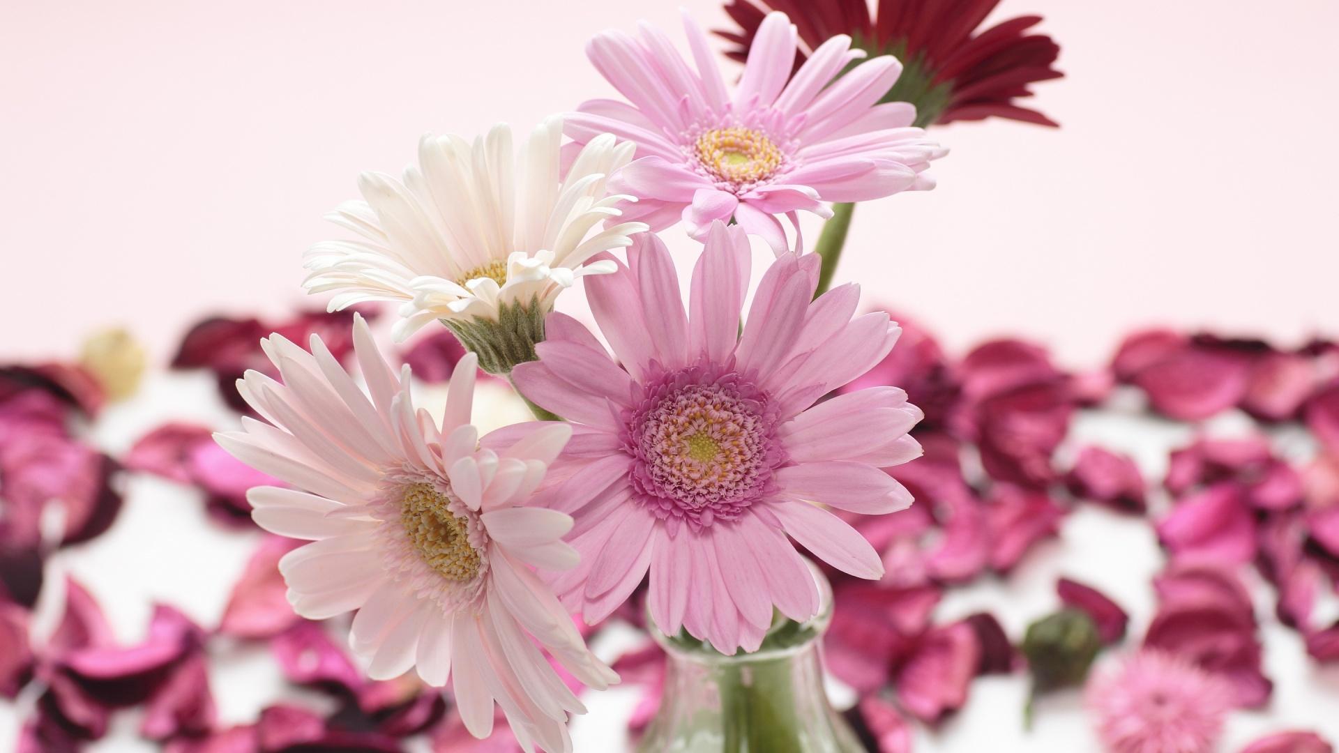 Pink white gerbera