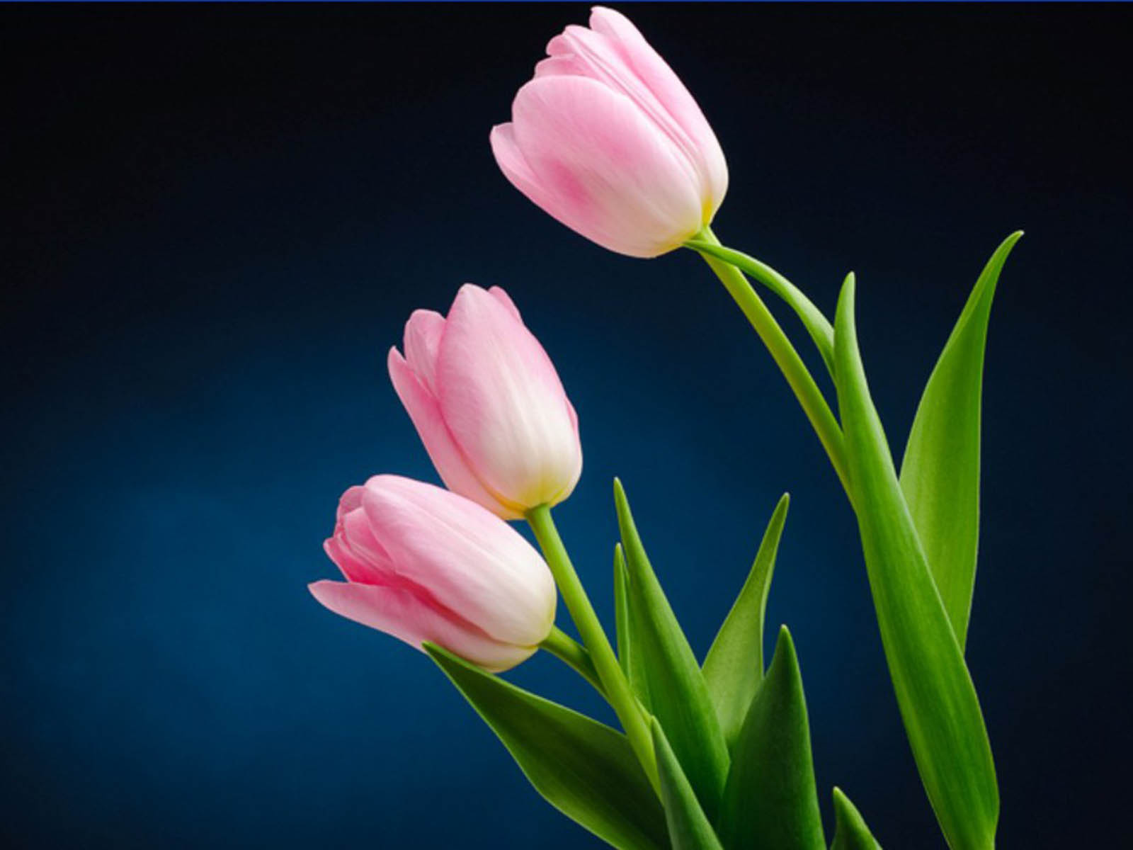 Pink white tulip flower