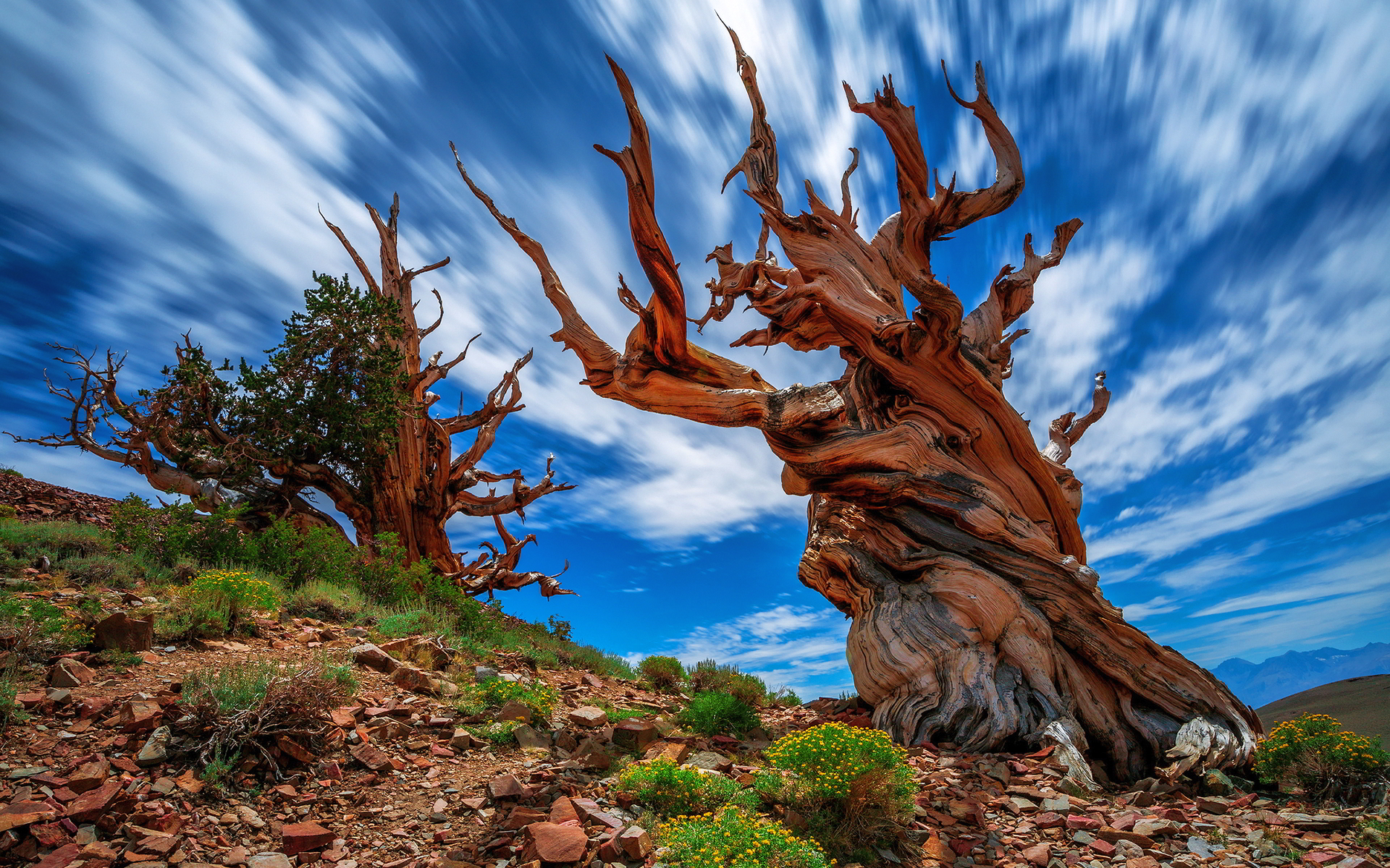 Pinus longaeva tree