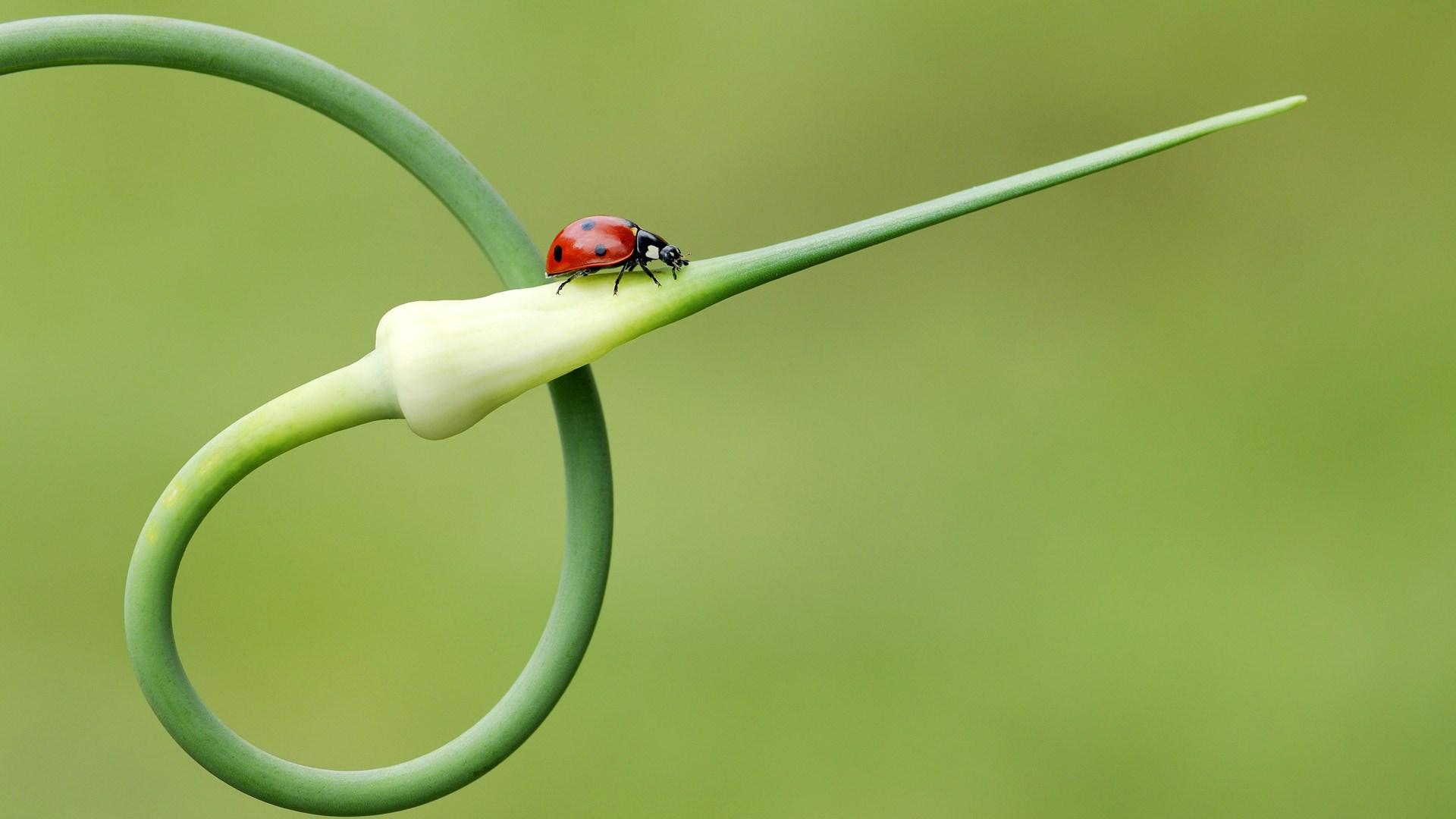 Plant Ladybird