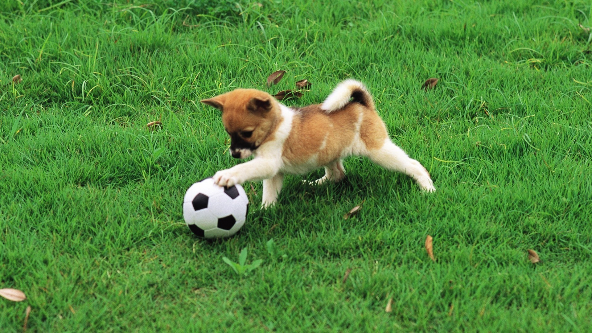 Puppy Playing with Ball 1 For Desktop Background
