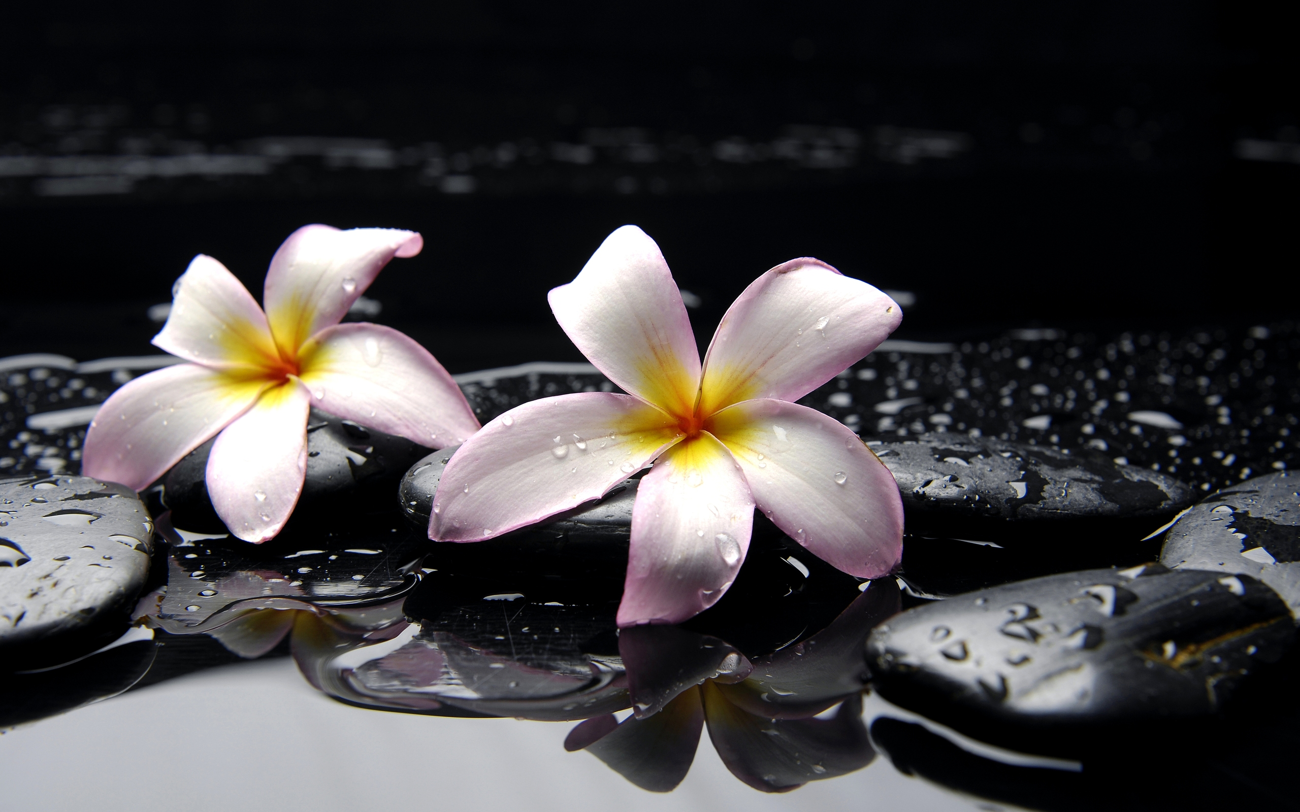 Plumeria Wallpapers