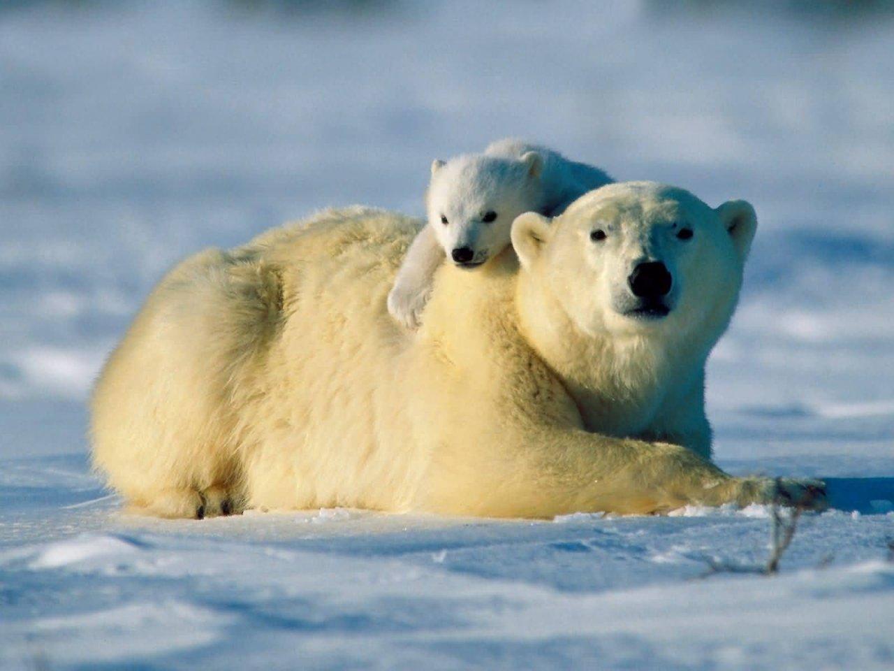 Polar Bears endangered attacks