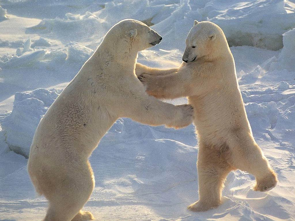 Do polar bears hibernate? The anatomy of the polar bear allows it to enter a partial hibernation state. Temperature is reduced and the circulatory system ...