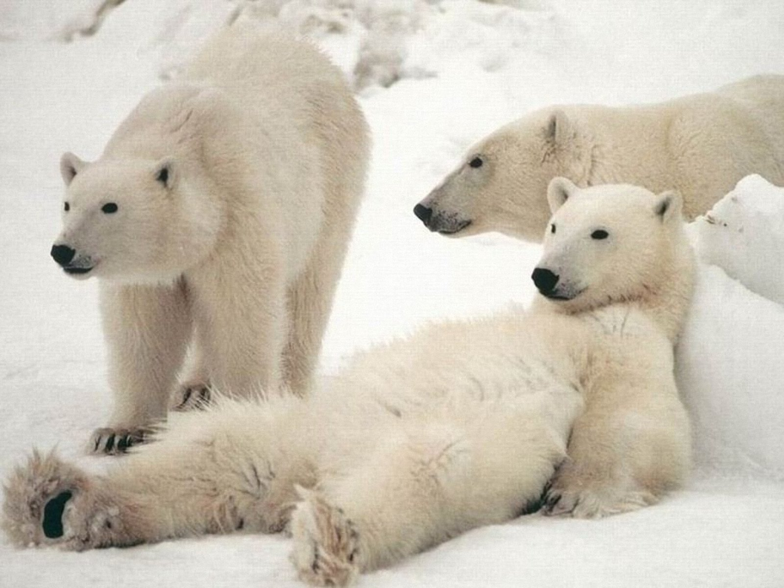 Happy Polar Bear Family Wallpaper animals on Pinterest husky
