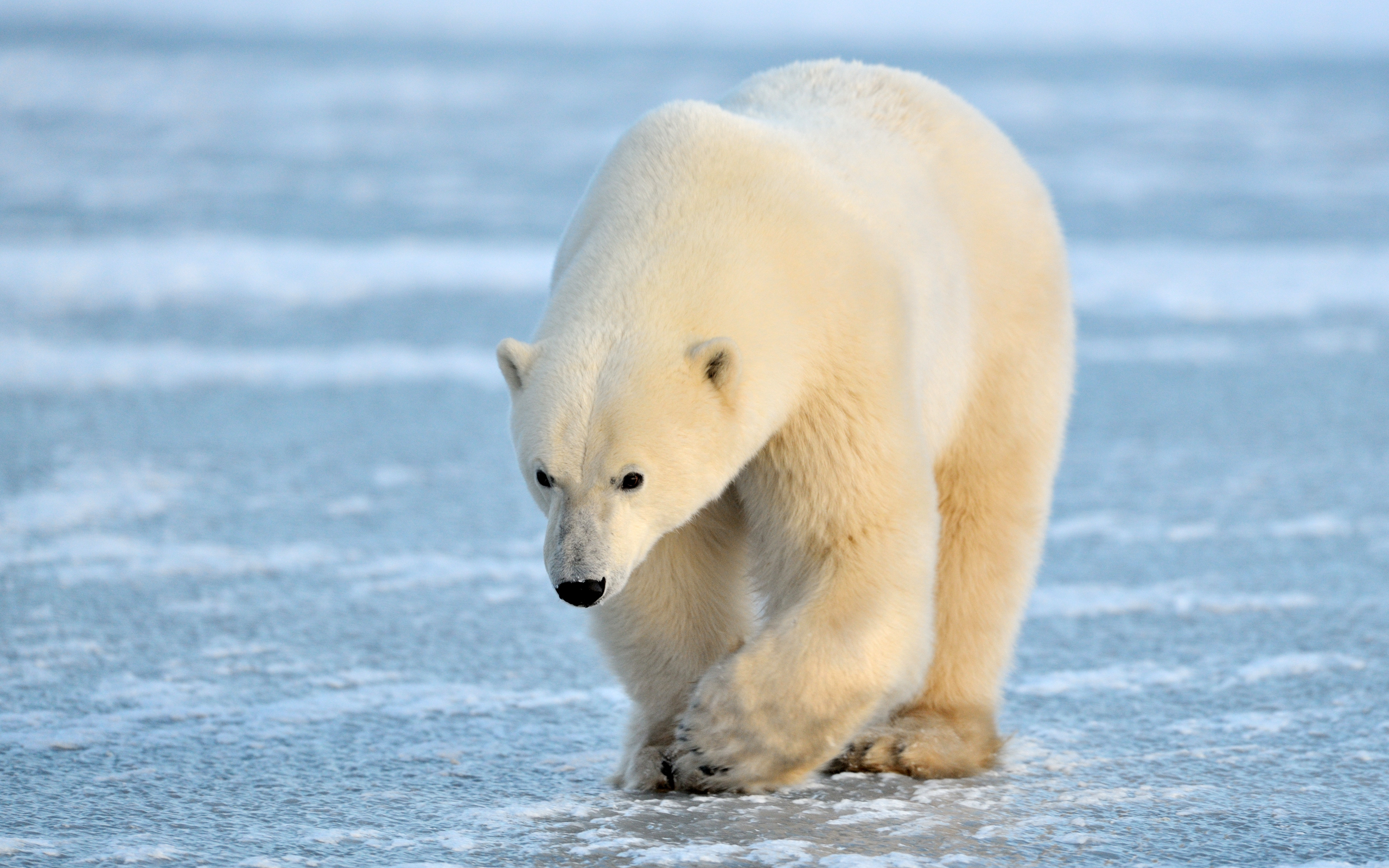 Polar Bear full hd