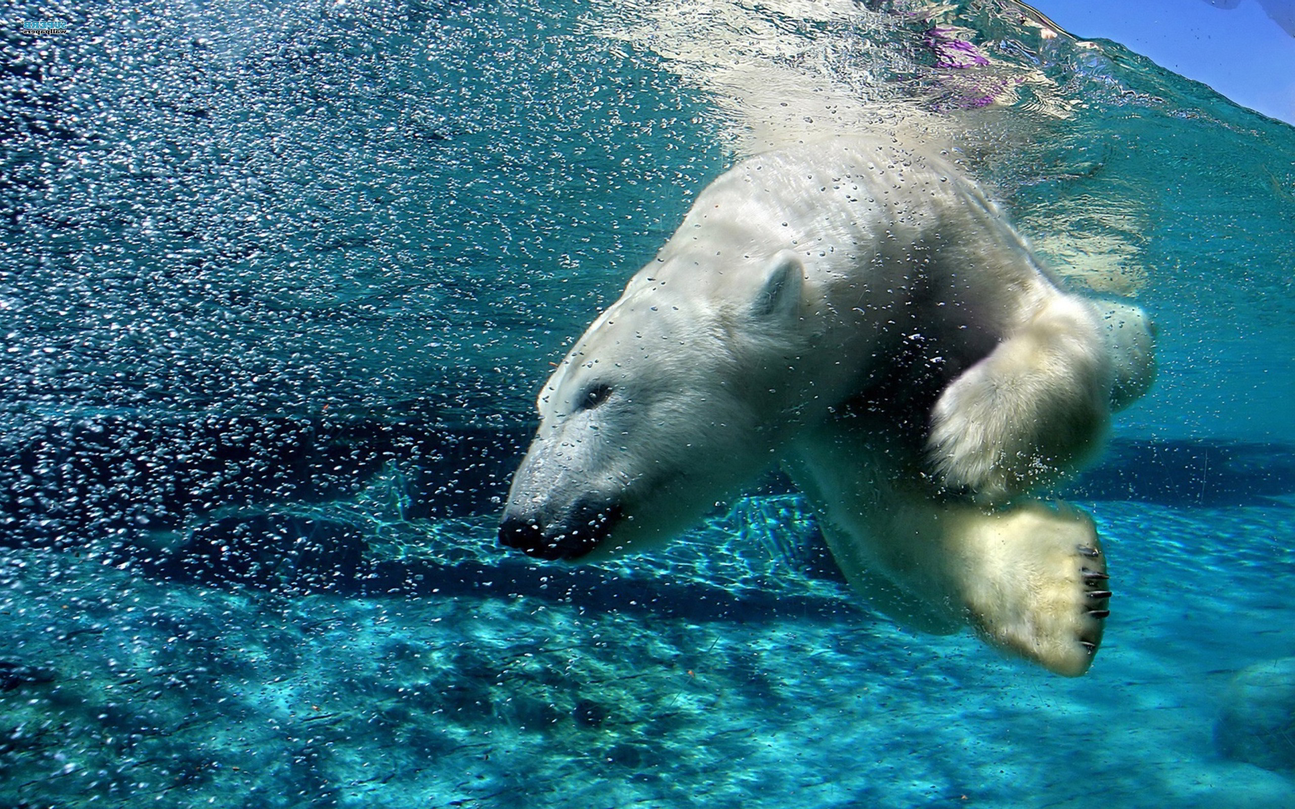 polar bear dive wallpaper | 2560x1600 | #14004