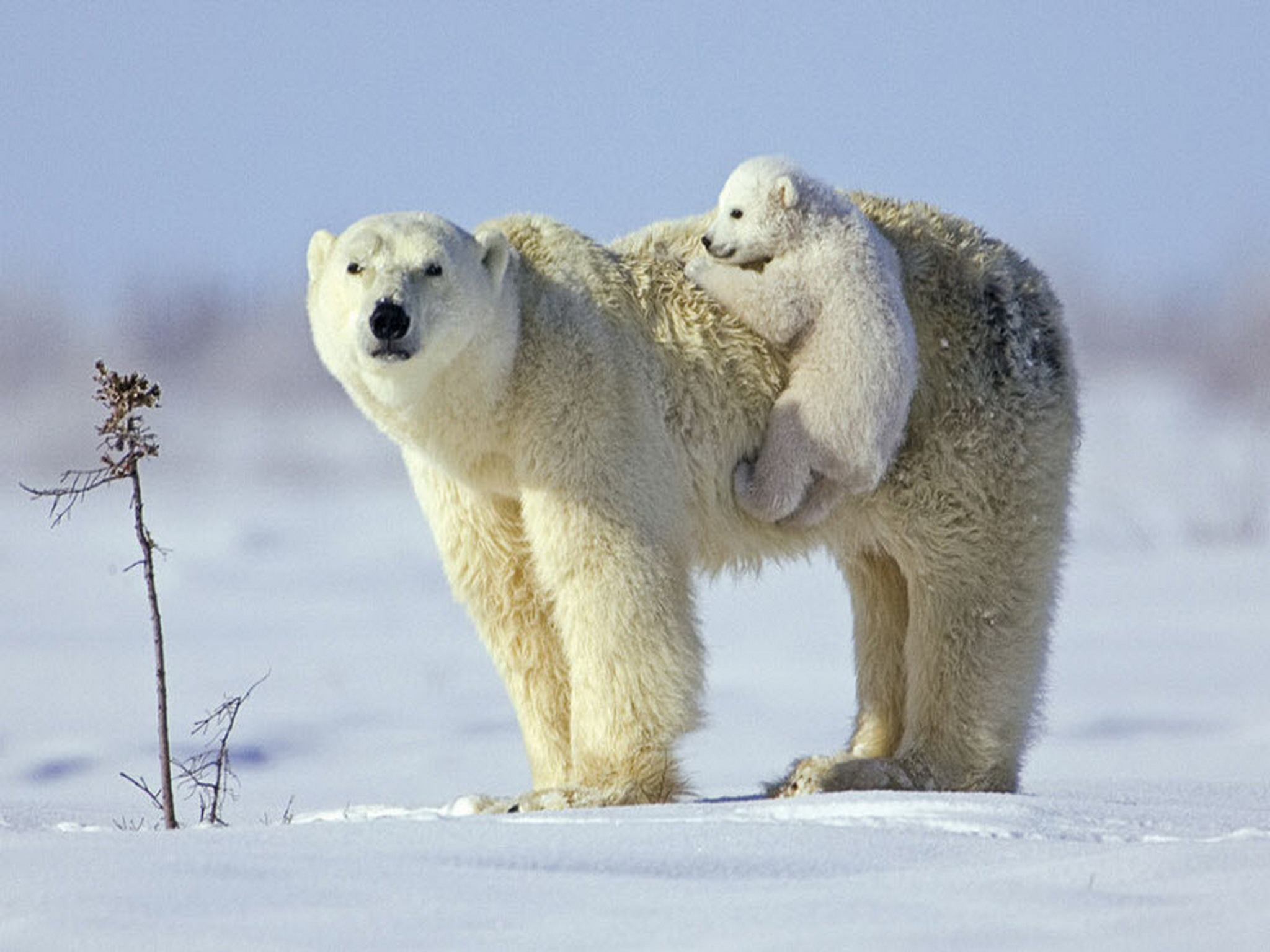 Polar Bear wallpaper | 2048x1536 | #58907