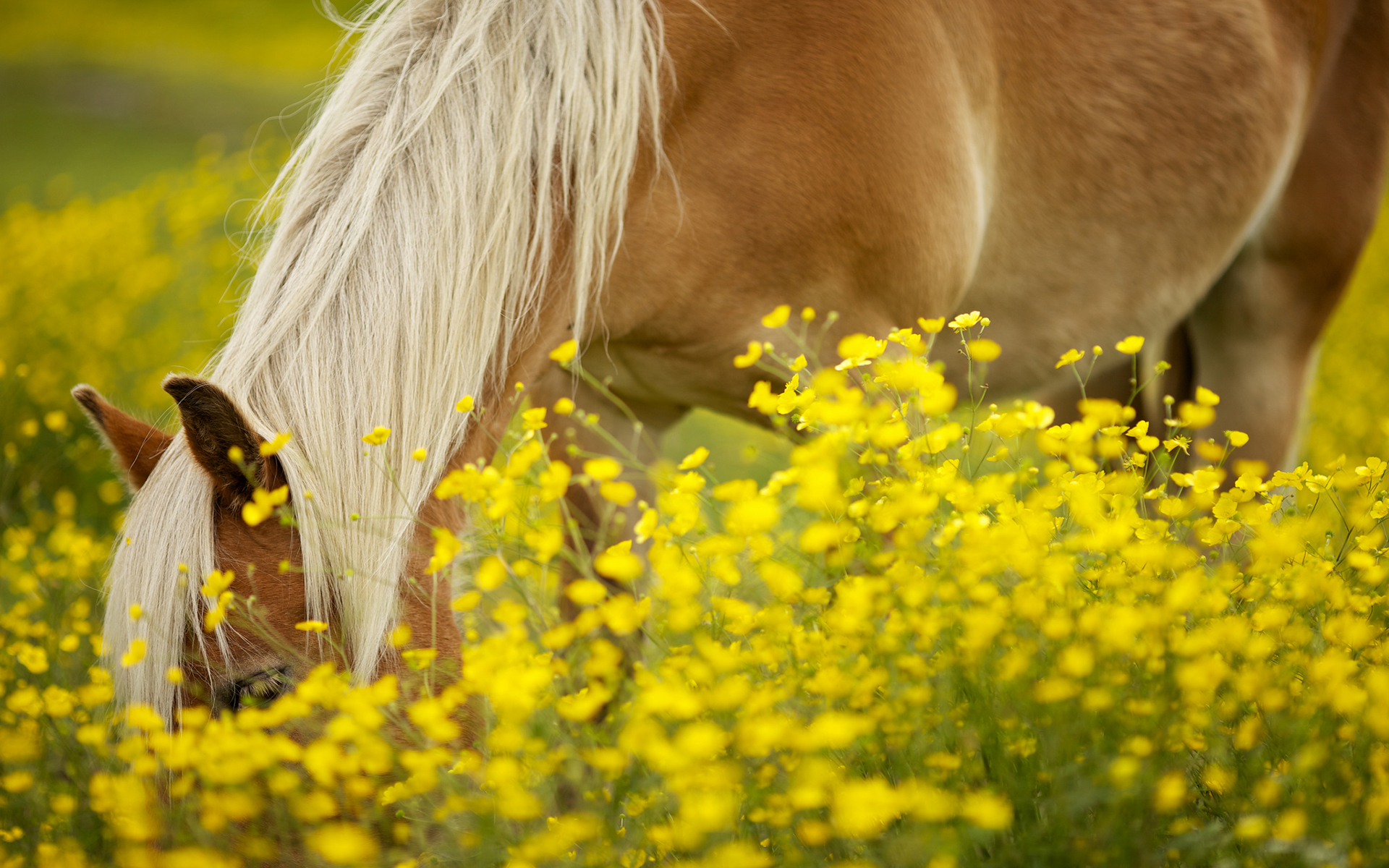 Pony in flower field