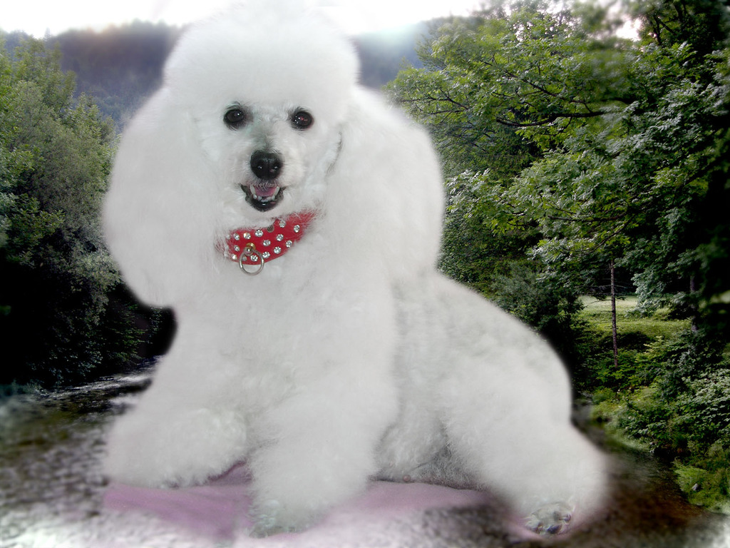 Poodle Wallpaper