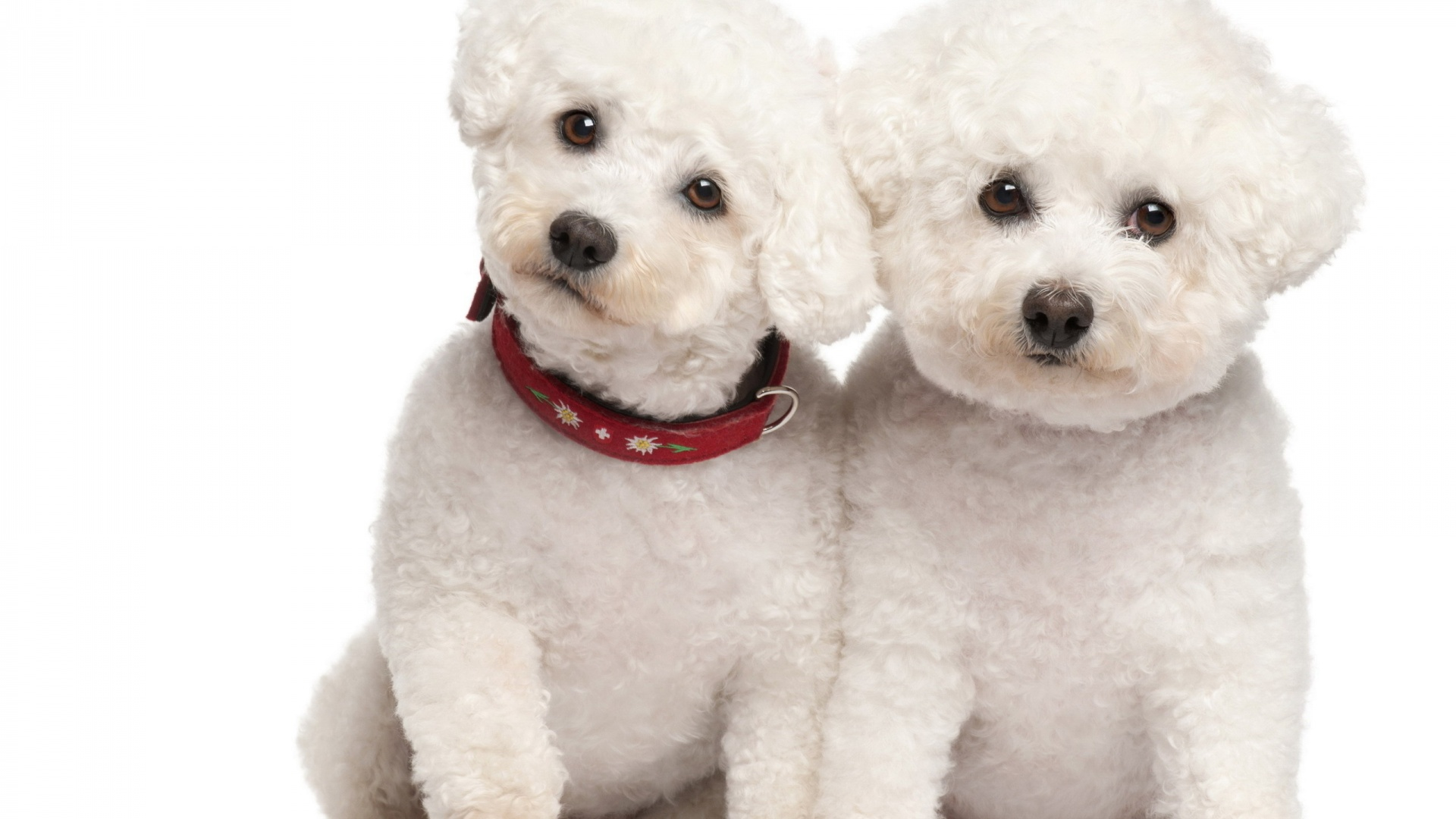 Large Poodle Dog Wallpapers ...