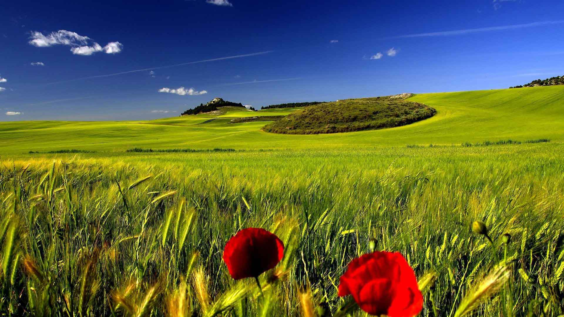 ... Landscape Poppies In The Green Wheat Field Wallpaper 1920×1080