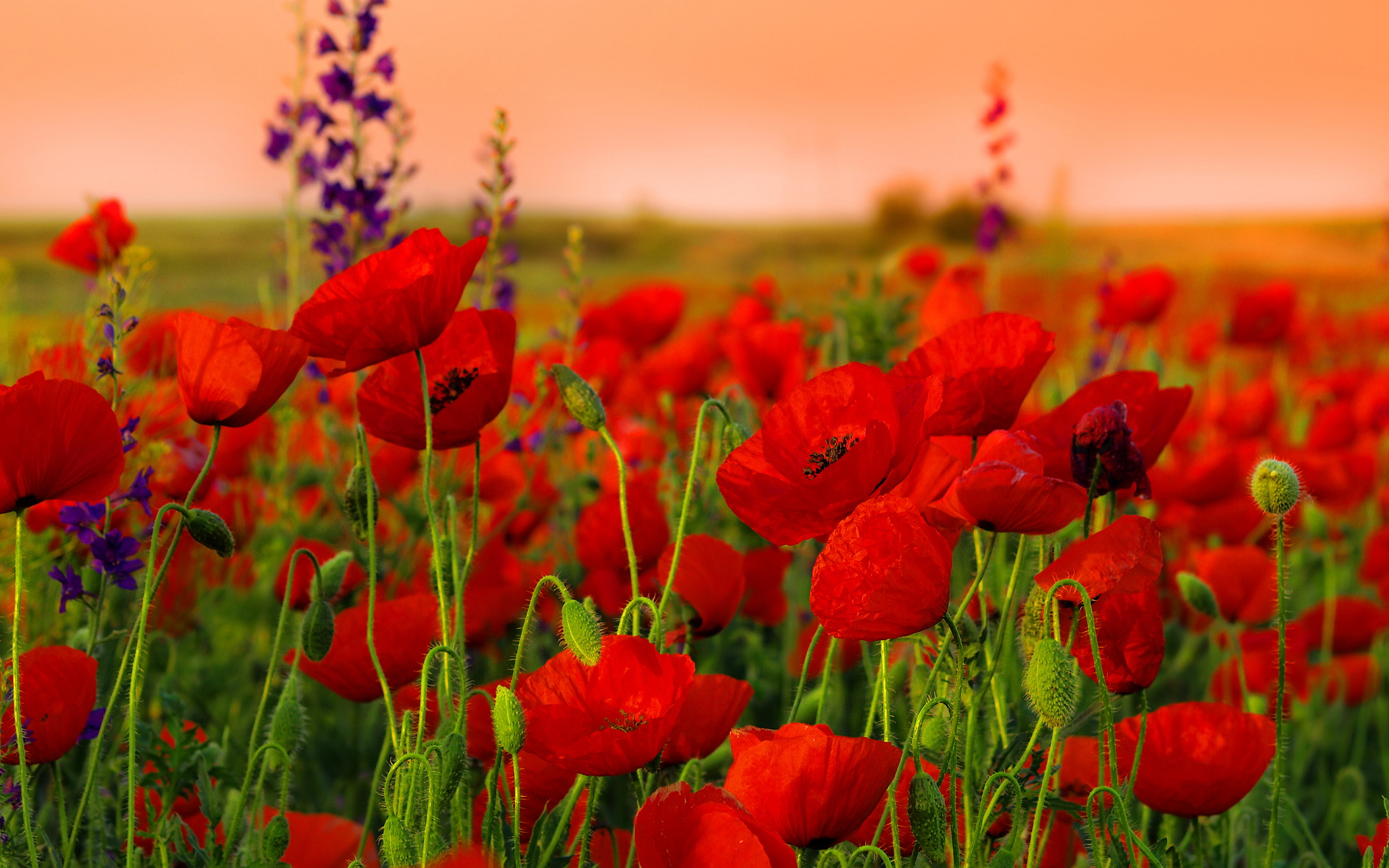 Poppies Red Field Nature