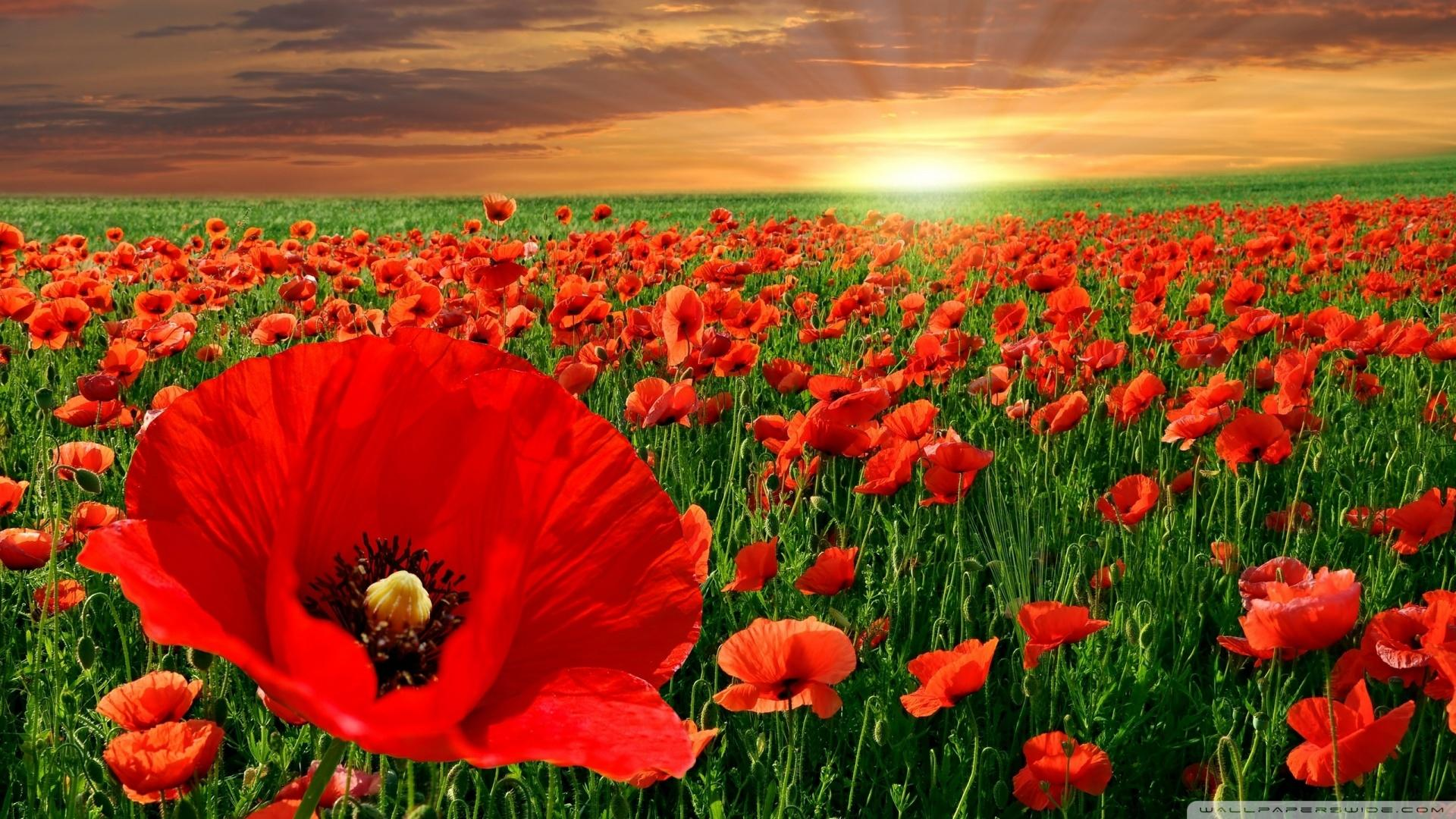 Sunset Over A Field Of Poppies Wallpaper #28190 - Resolution 1920x1080 px