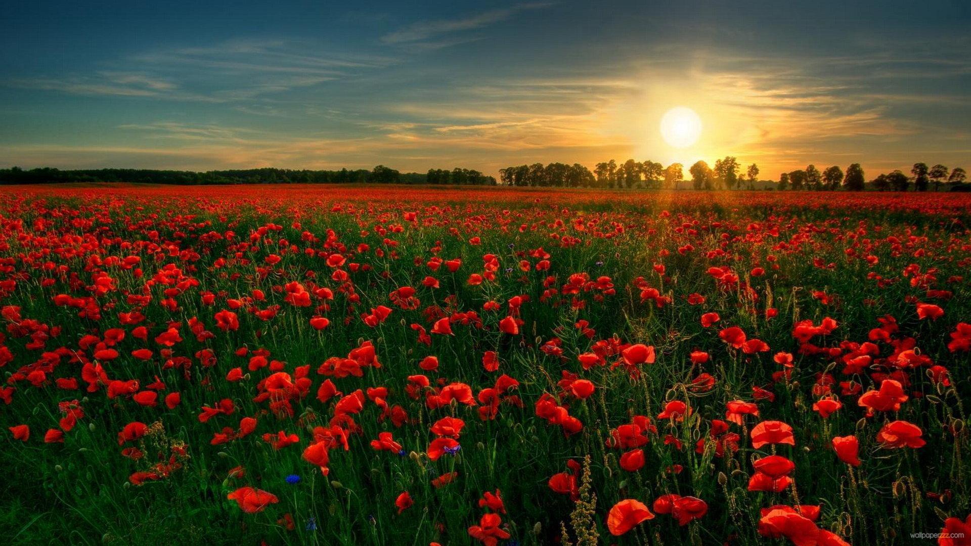 Poppy Field HD 32145 1680x1050 px