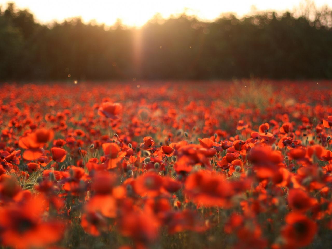 Poppy Field Sunset Wallpaper 1280x960 Poppy Field Sunset Wallpaper