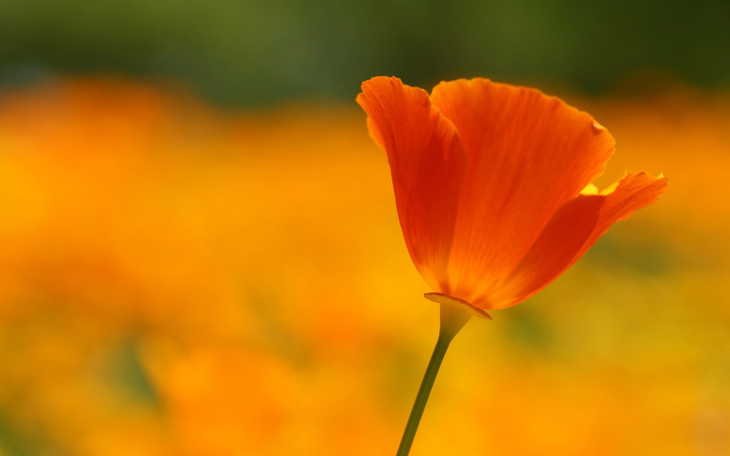 Poppy Flower Summer Close-Up