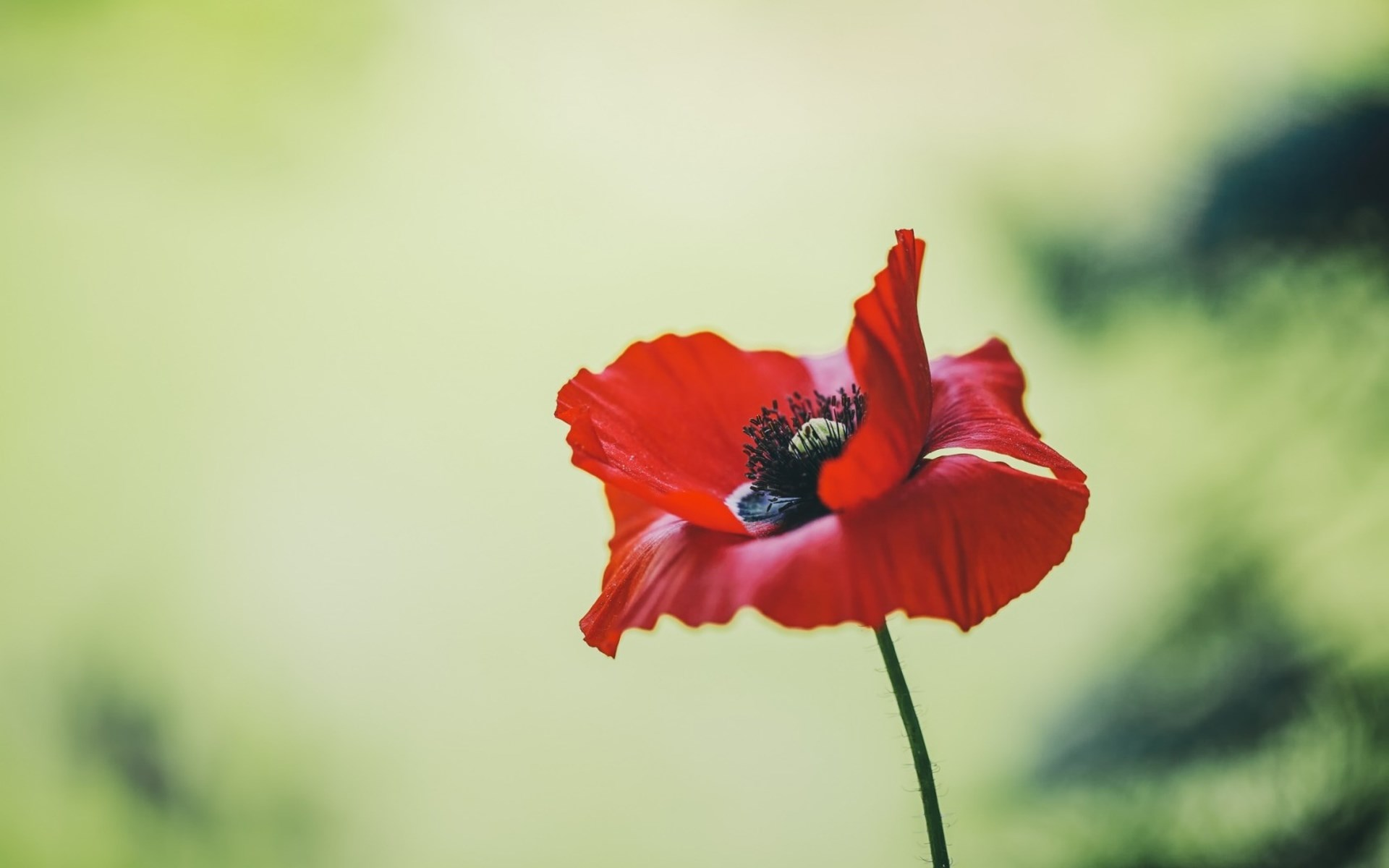 Poppy Flower Summer