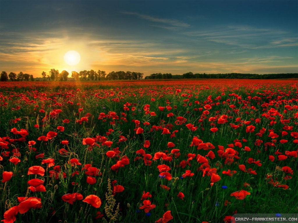 Wallpaper: Poppy flower field wallpapers