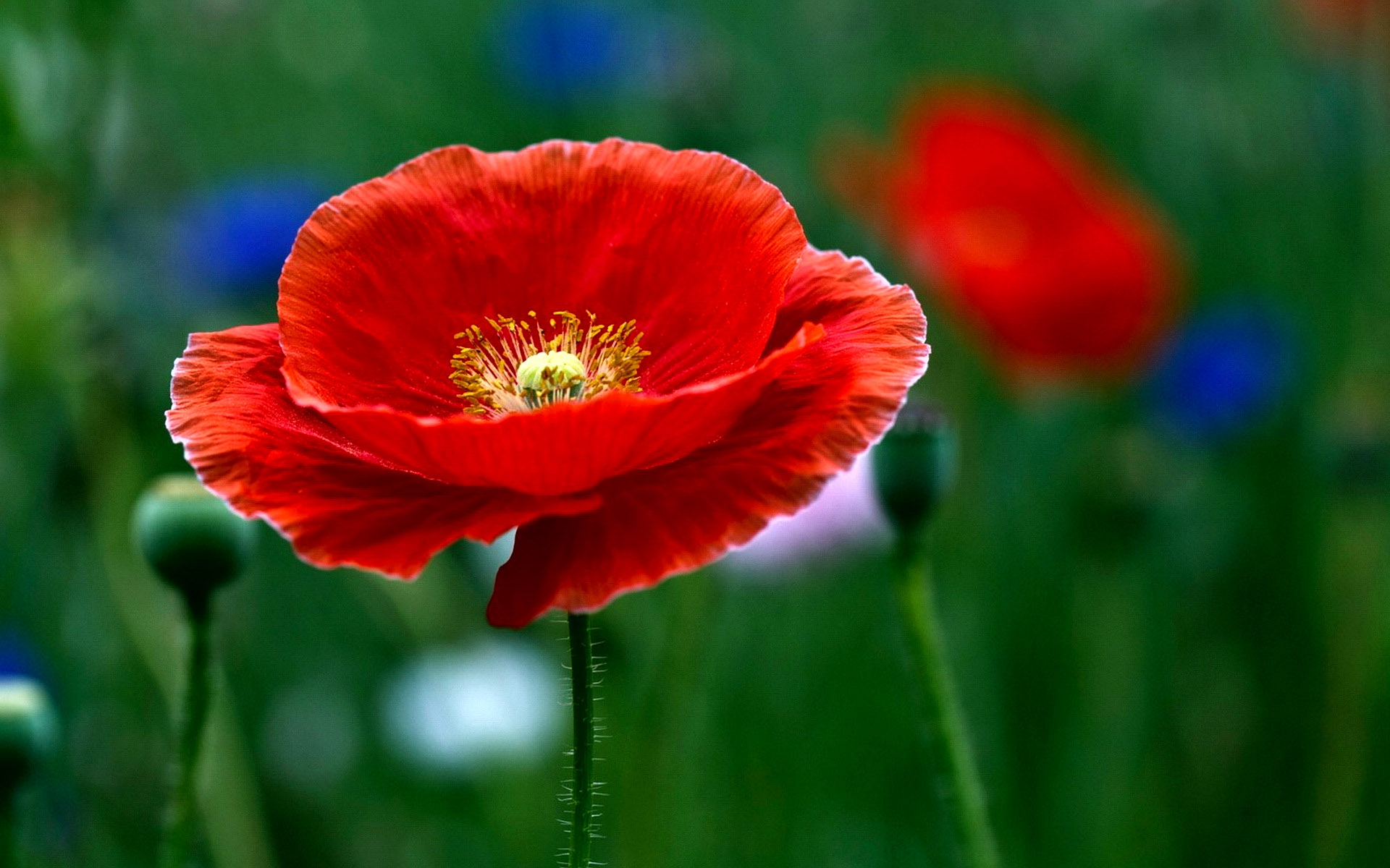 Poppy Flower Pictures 5 HD Wallpapers