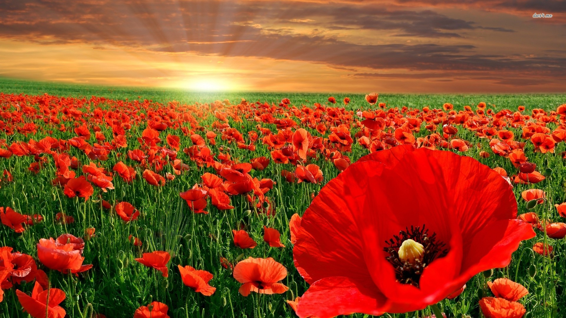 Red Poppy Flower Wallpaper