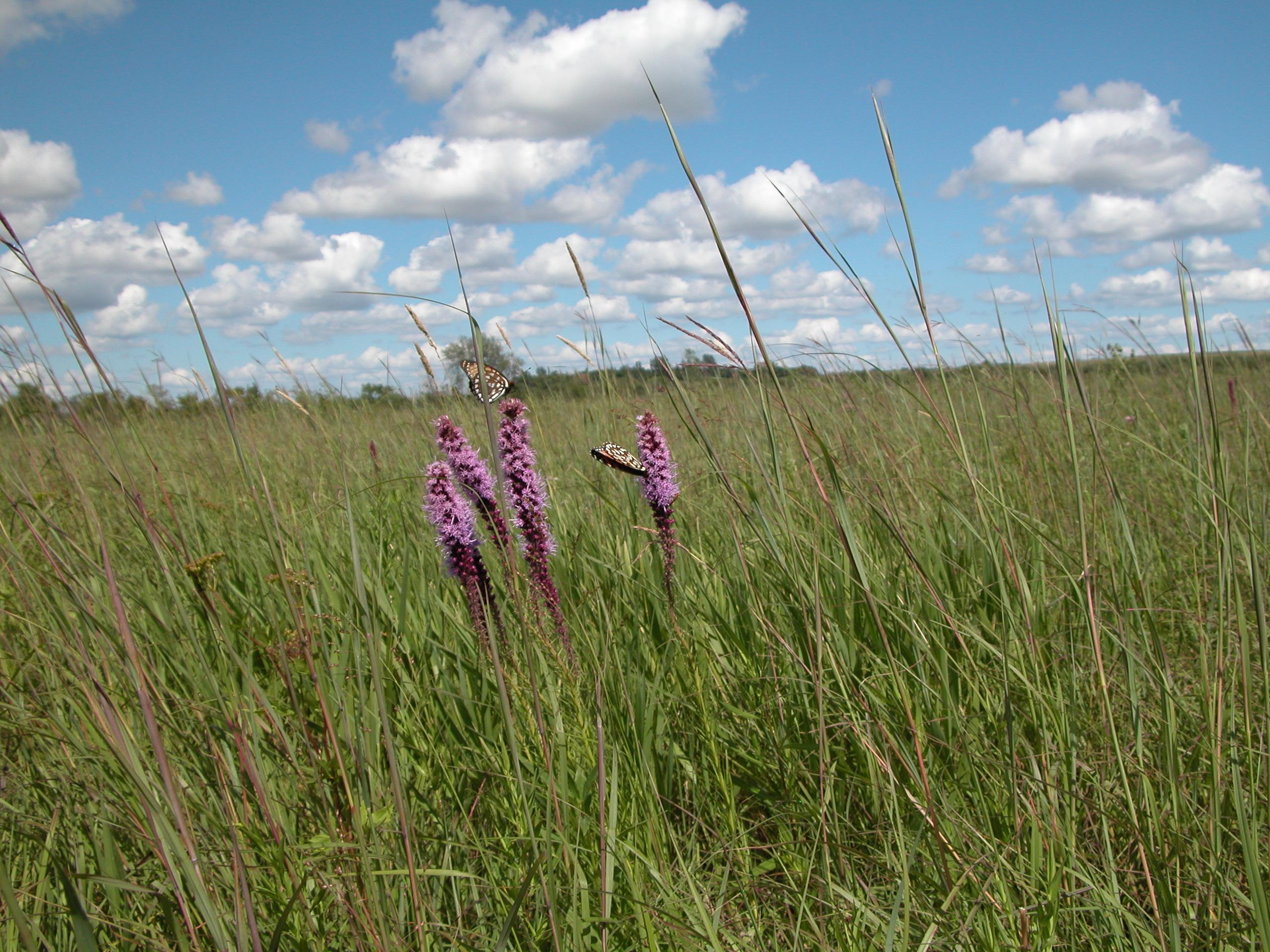 Prairie Blazingstar (Liatris pycnostachya)