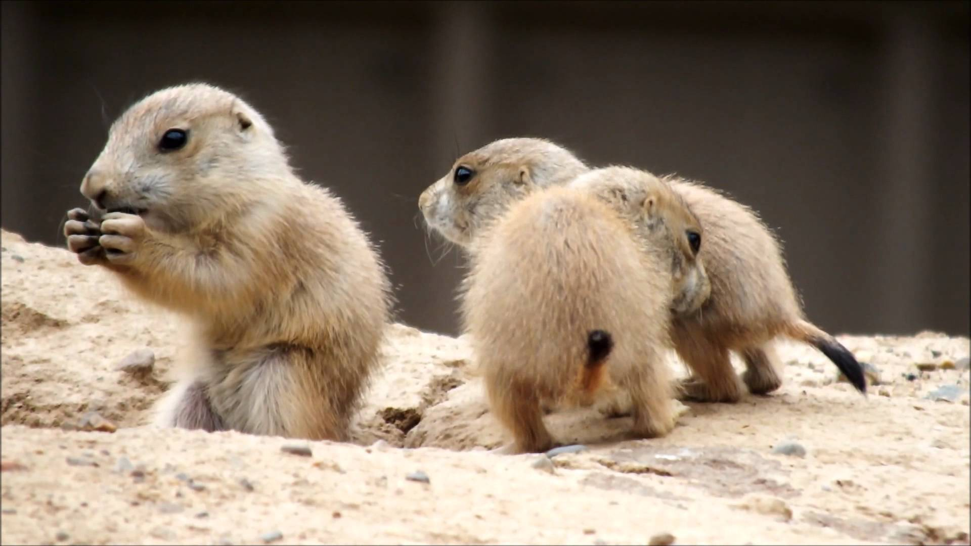 Baby Prairie Dogs at the Minnesota Zoo CUTE OVERLOAD!
