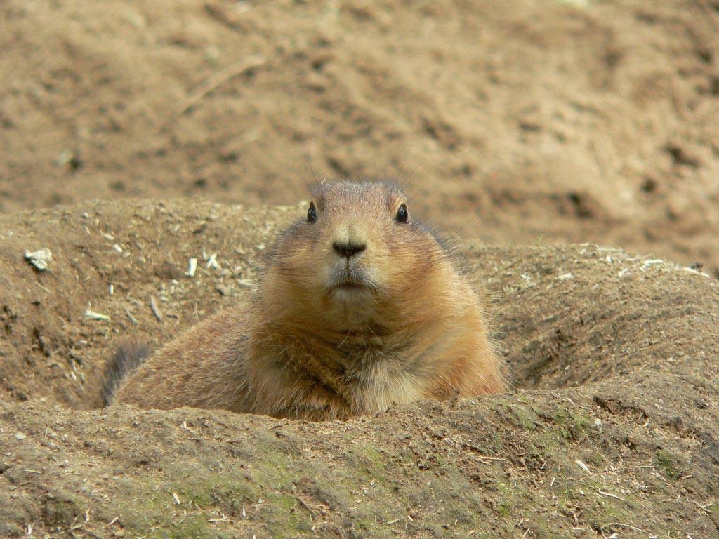 Prairie-dog-clipart-15