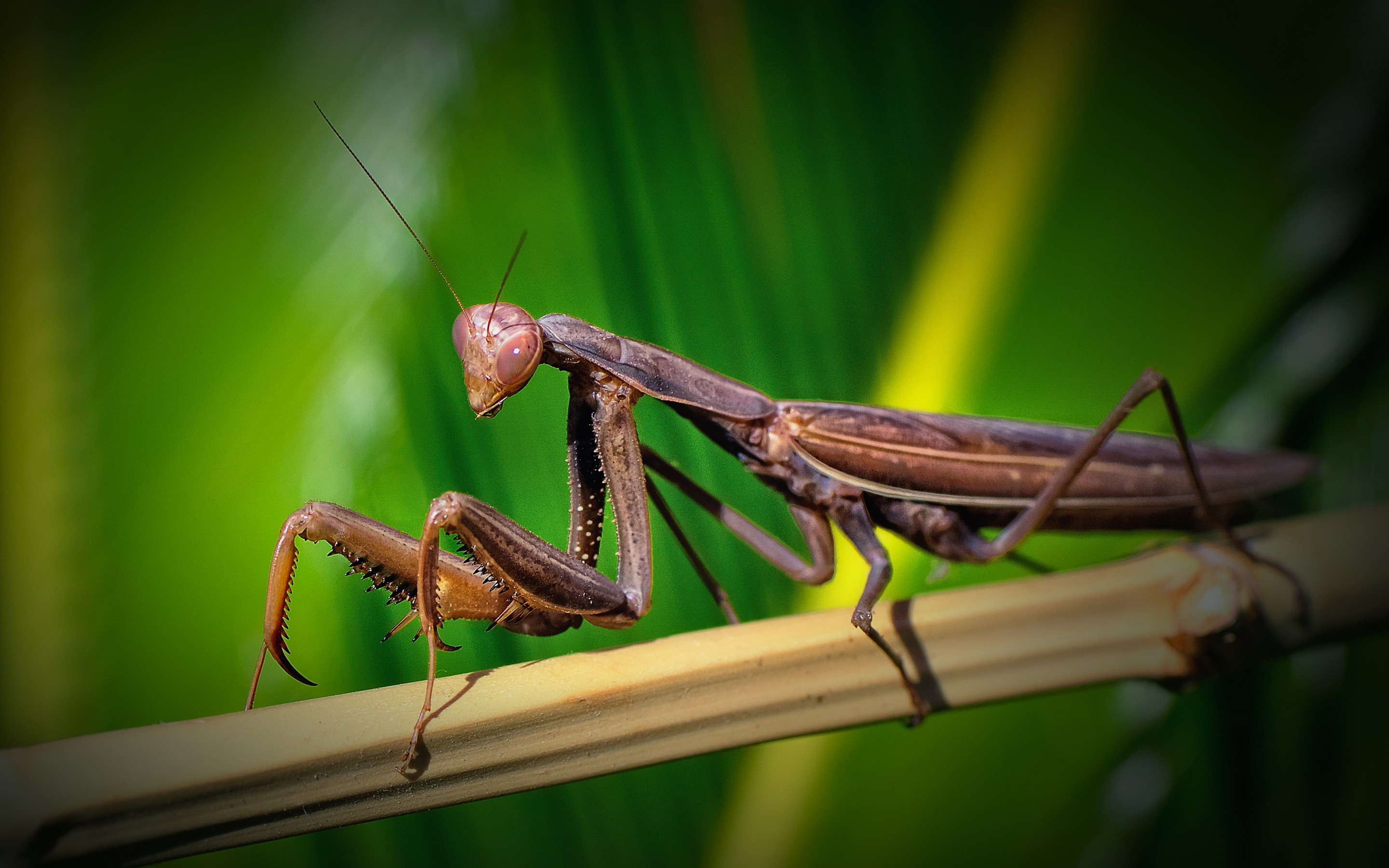 2880x1800 Animal Praying Mantis
