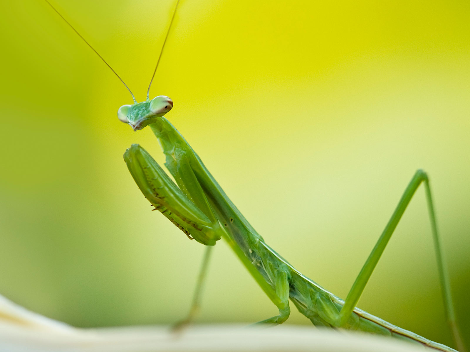 Desktop Wallpaper · Gallery · Nature Praying mantis