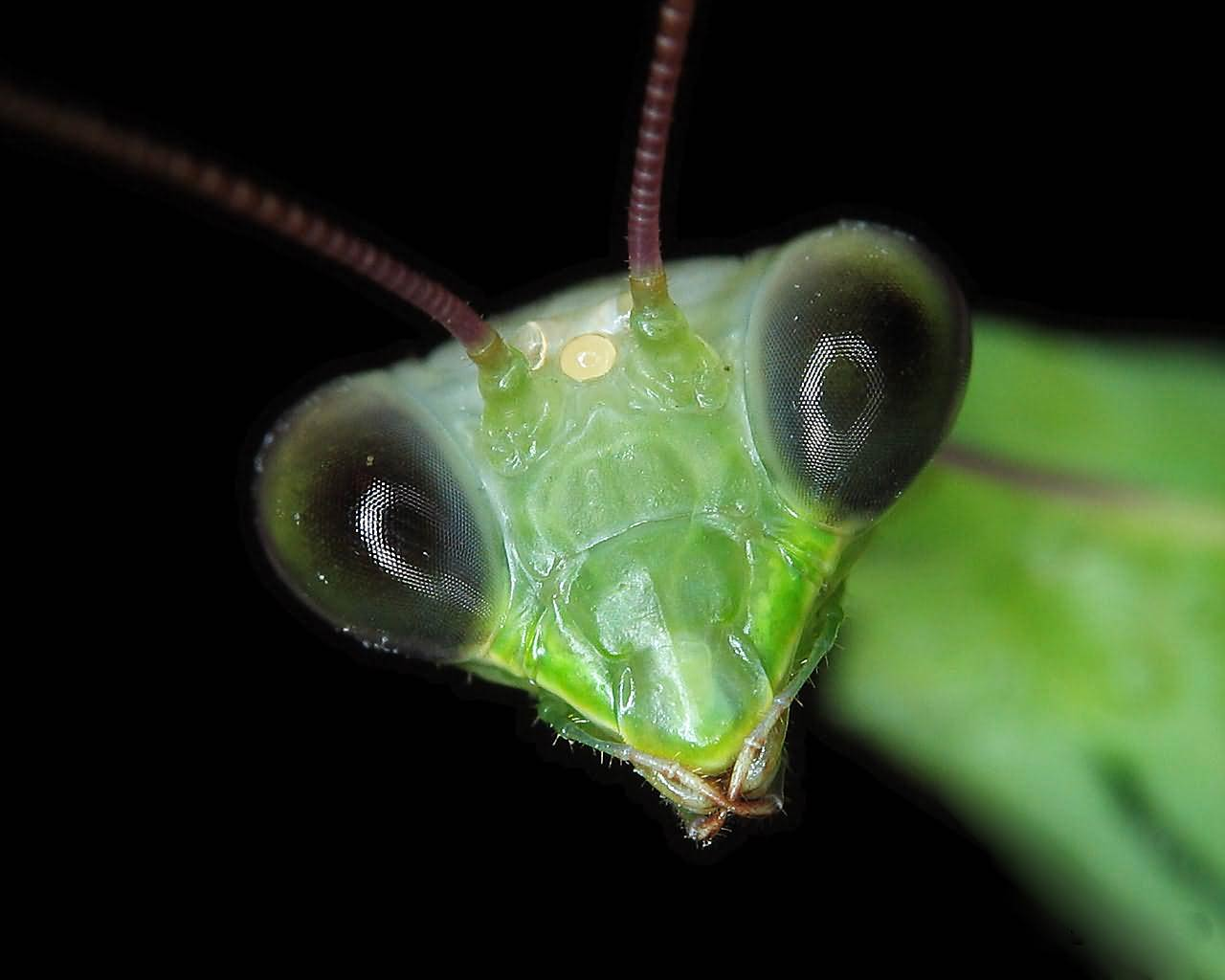 Praying-mantis- Photo#06