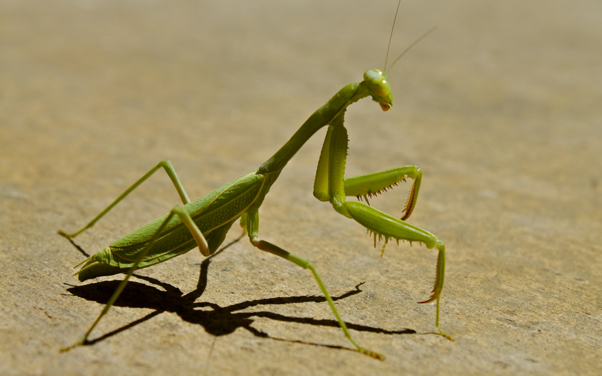 HD Wallpaper   Background ID:260407. 1920x1200 Animal Praying Mantis