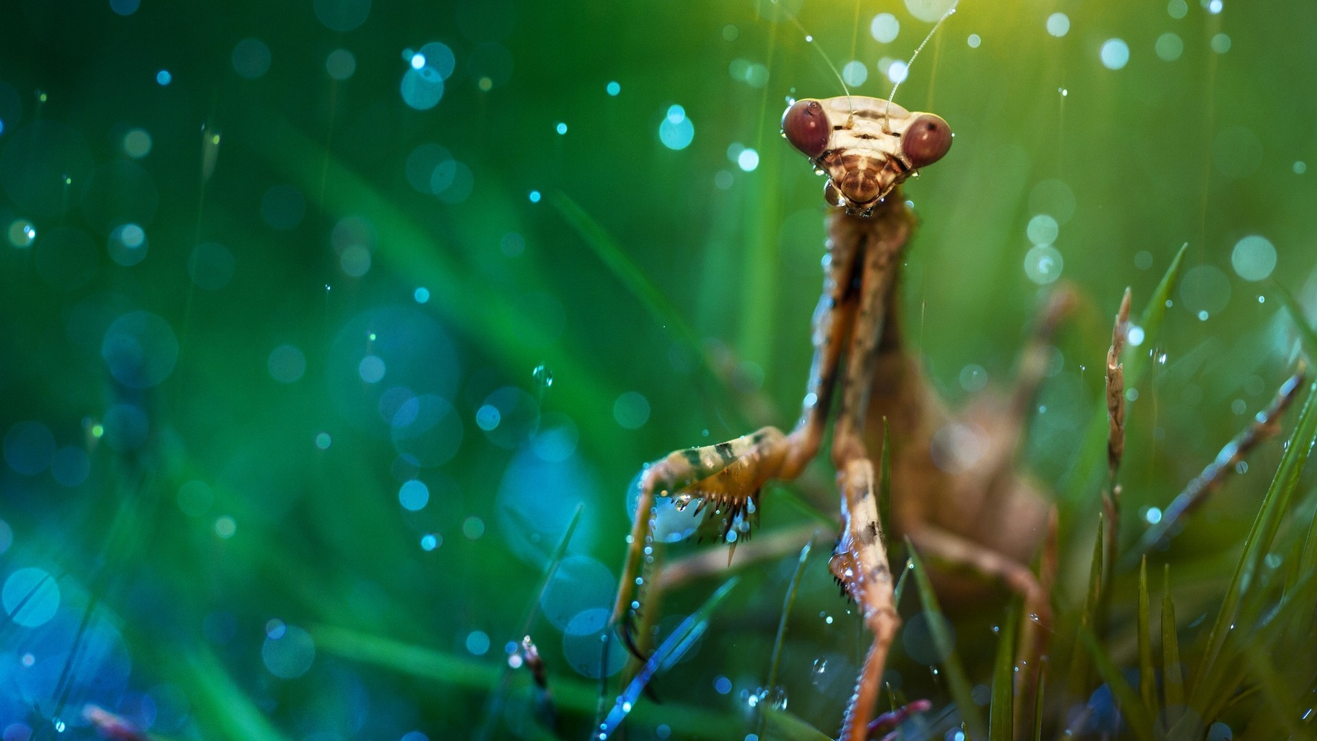 praying mantis wallpaper (3)