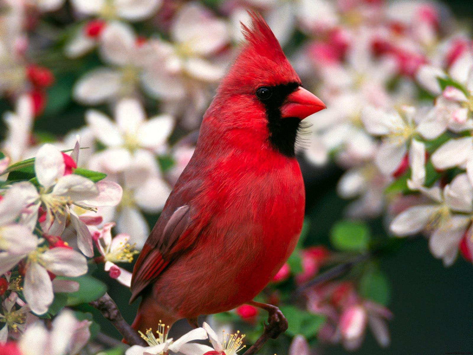 Pretty Cardinal Wallpaper