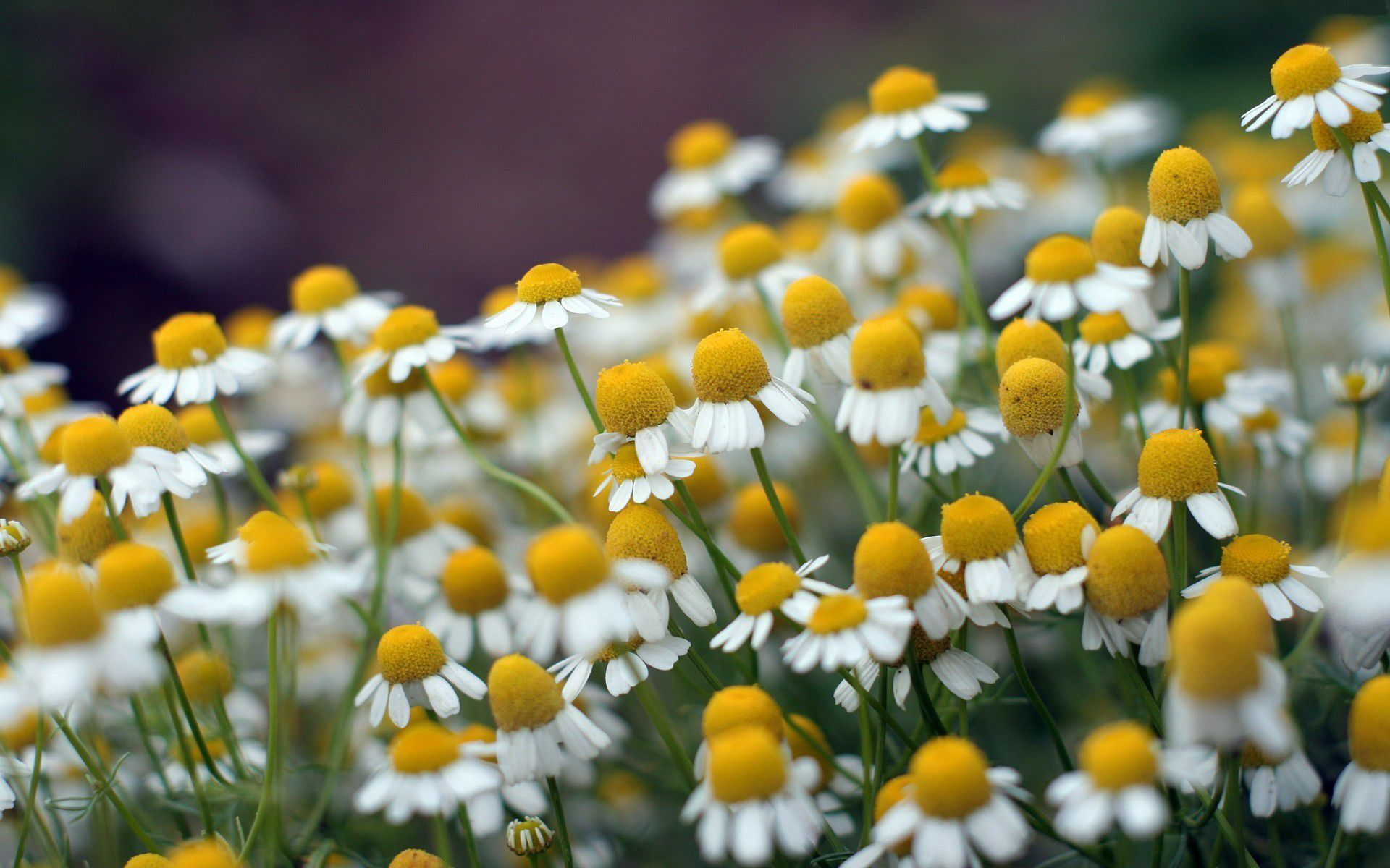 Pretty Chamomile Wallpaper