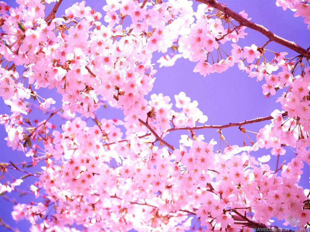 Pretty Cherry Blossom Wallpaper