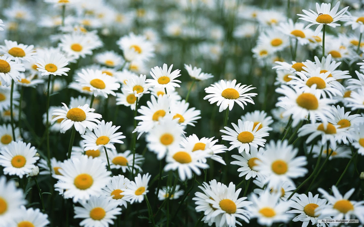 Daisy Wallpaper: Outstanding White Daisy Wallpaper 1440x900px