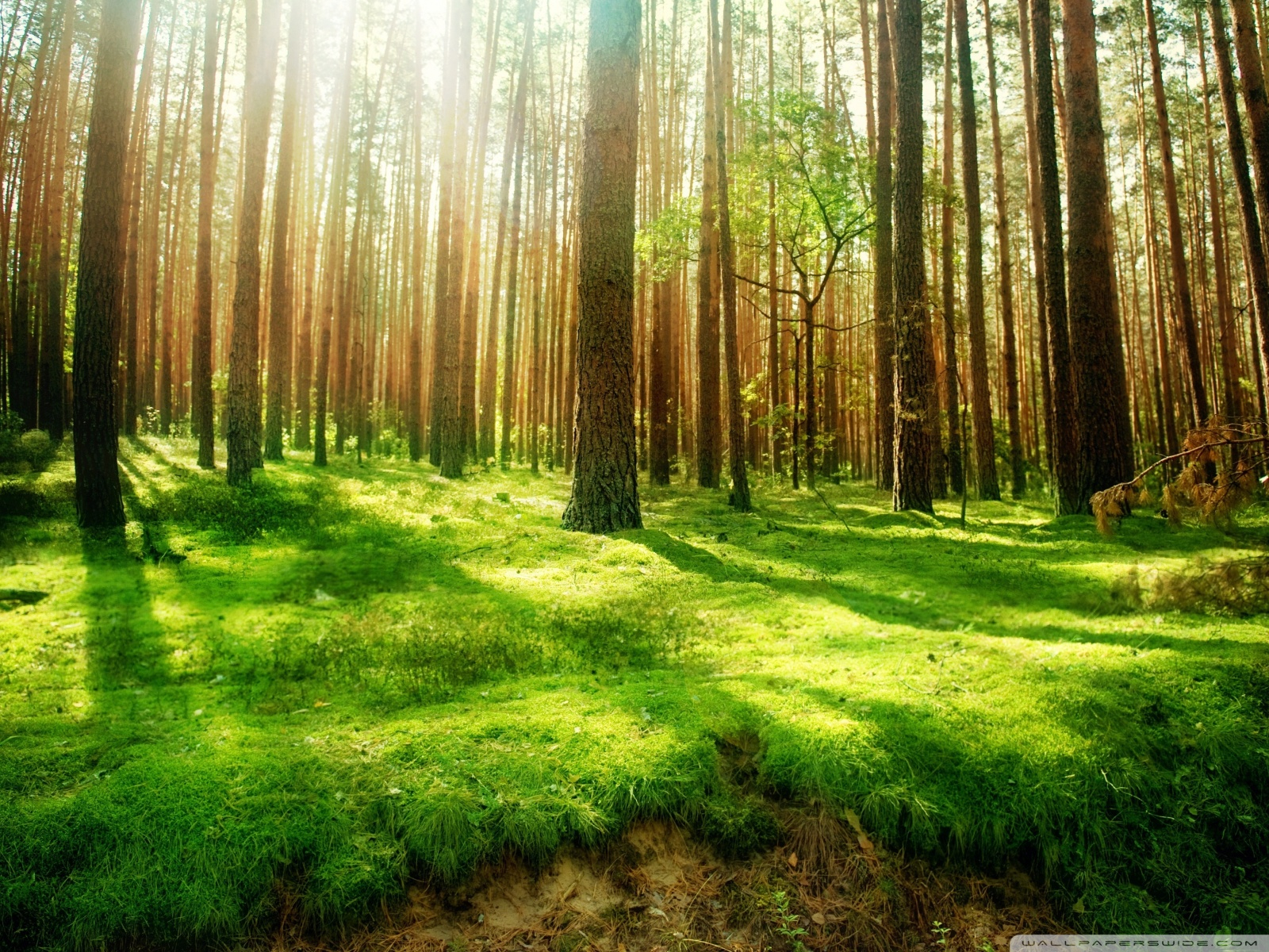 Pretty Forest Wallpaper 15588