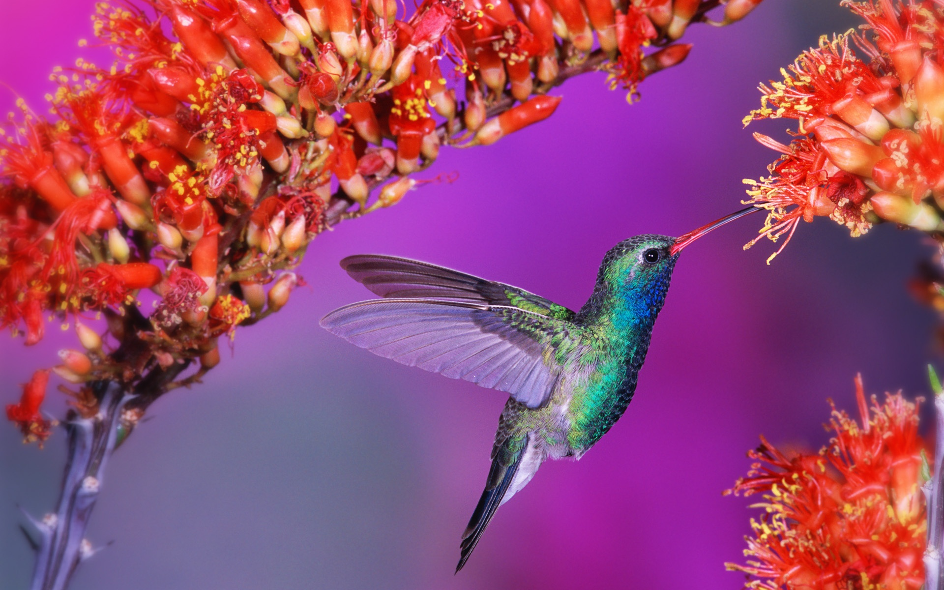 Pretty Hummingbird Wallpaper