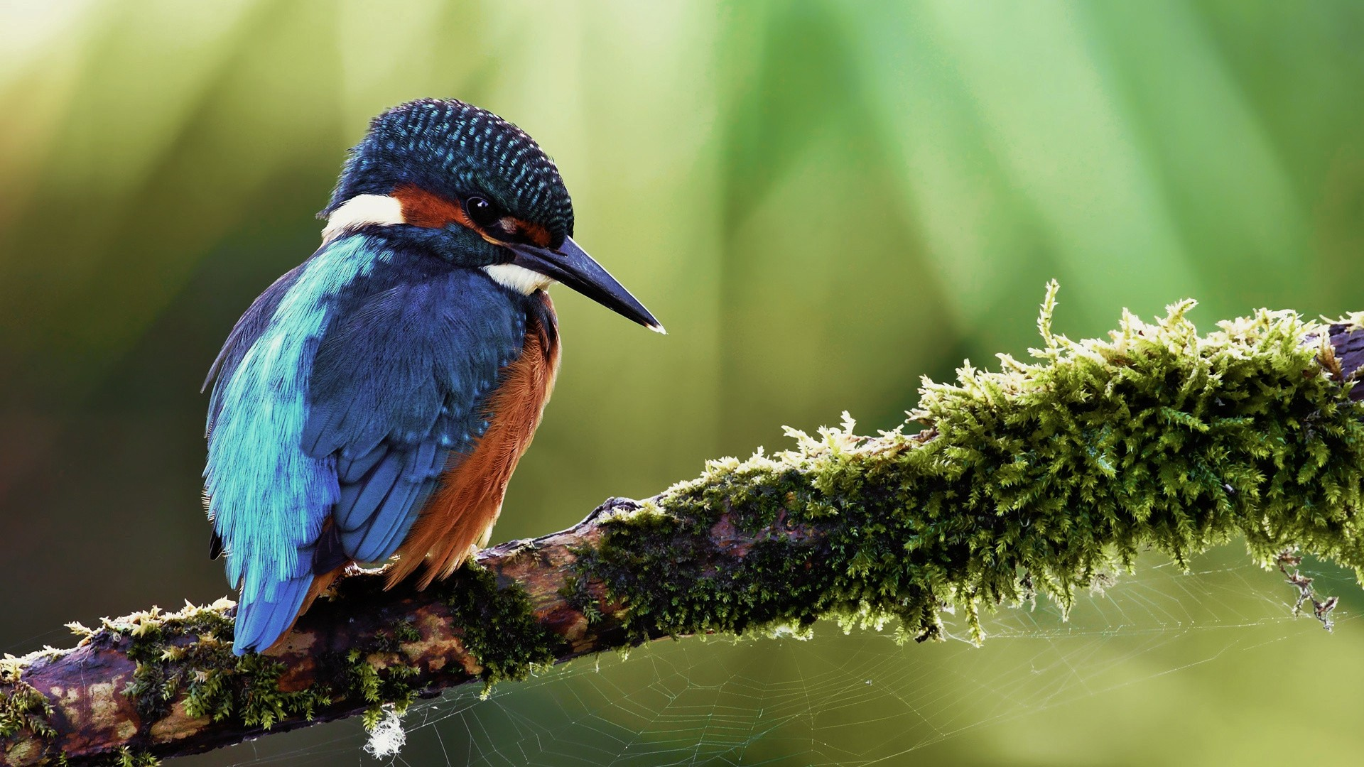 Amazing Kingfisher Wallpaper