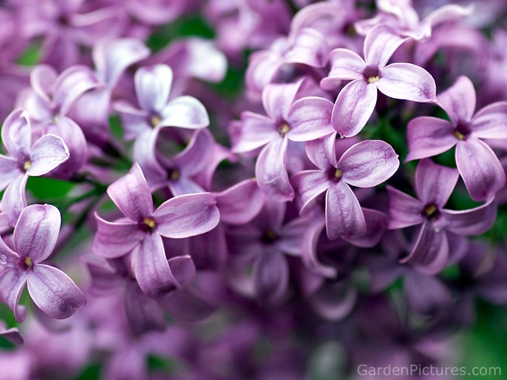 Pretty Purple Lilac Flower Photos